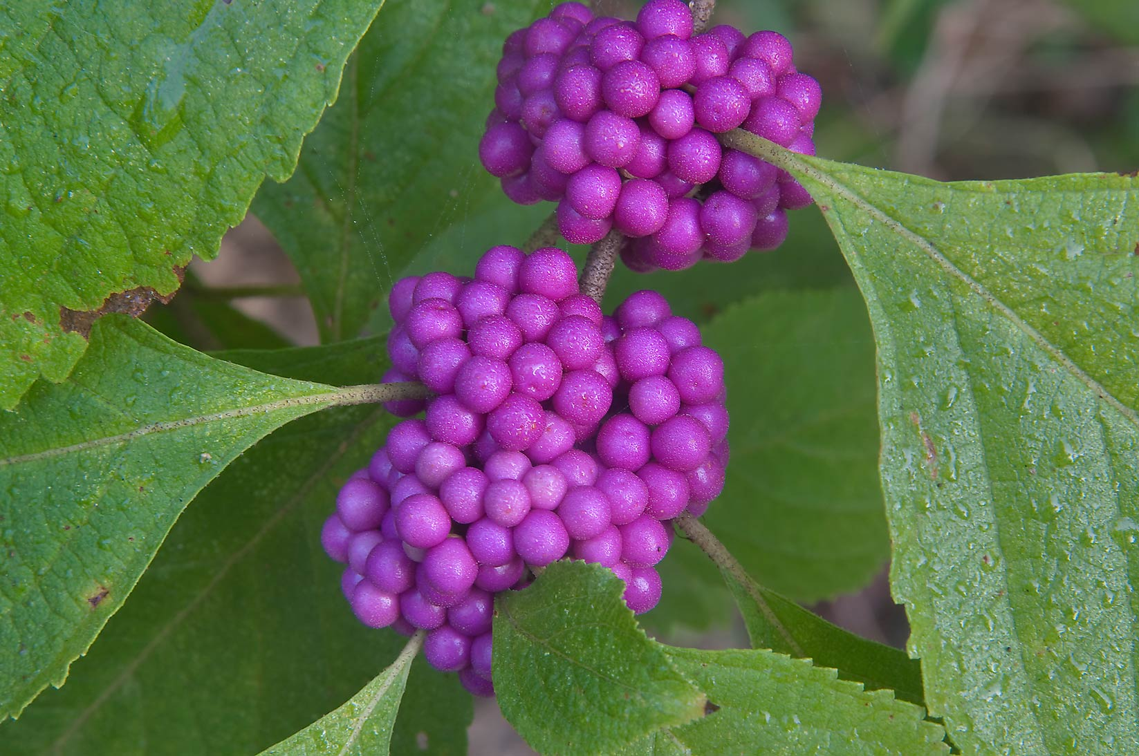 Beautyberry (Callicarpa americana) in dew in Lick Creek Park. College Station, Texas