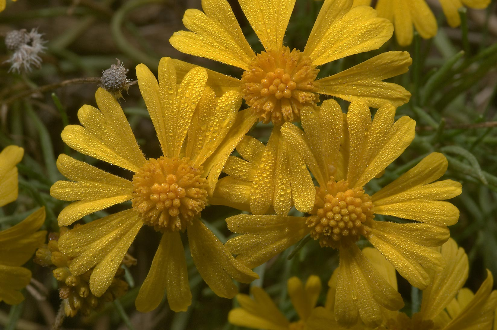 Sneezeweed (Helenium autumnale) along Bee Creek...Lemontree park. College Station, Texas