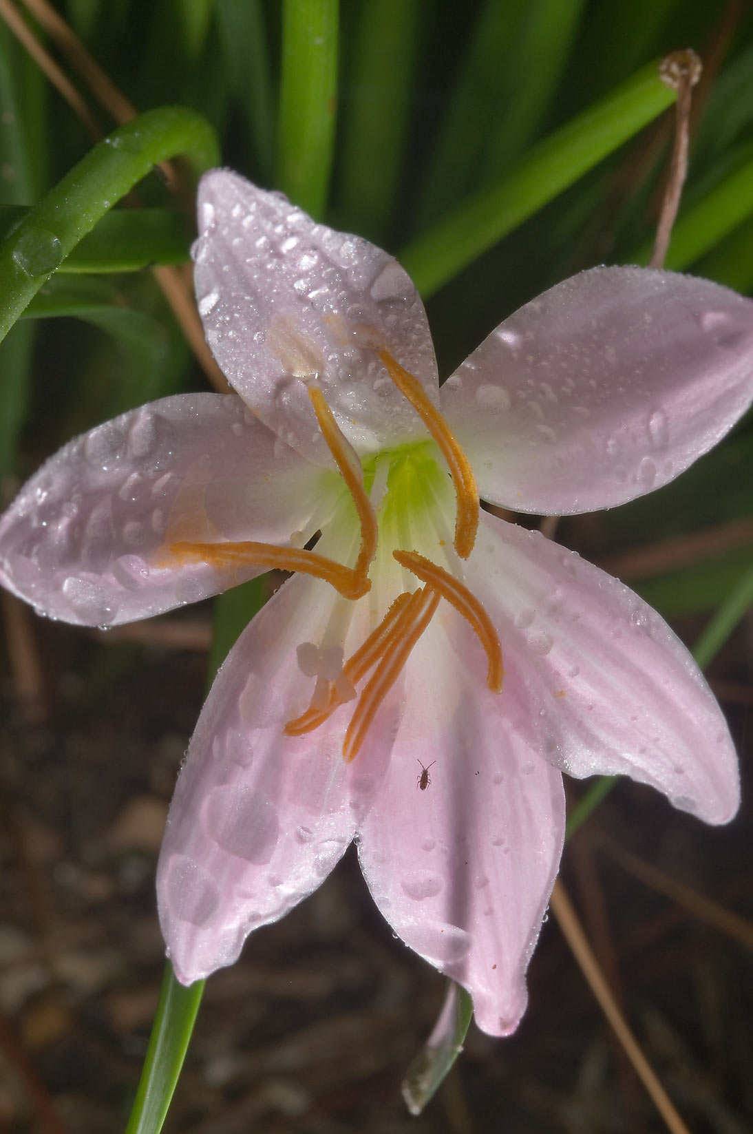 Rain lily (Zephyranthes) in Mercer Arboretum and...Gardens. Humble (Houston area), Texas