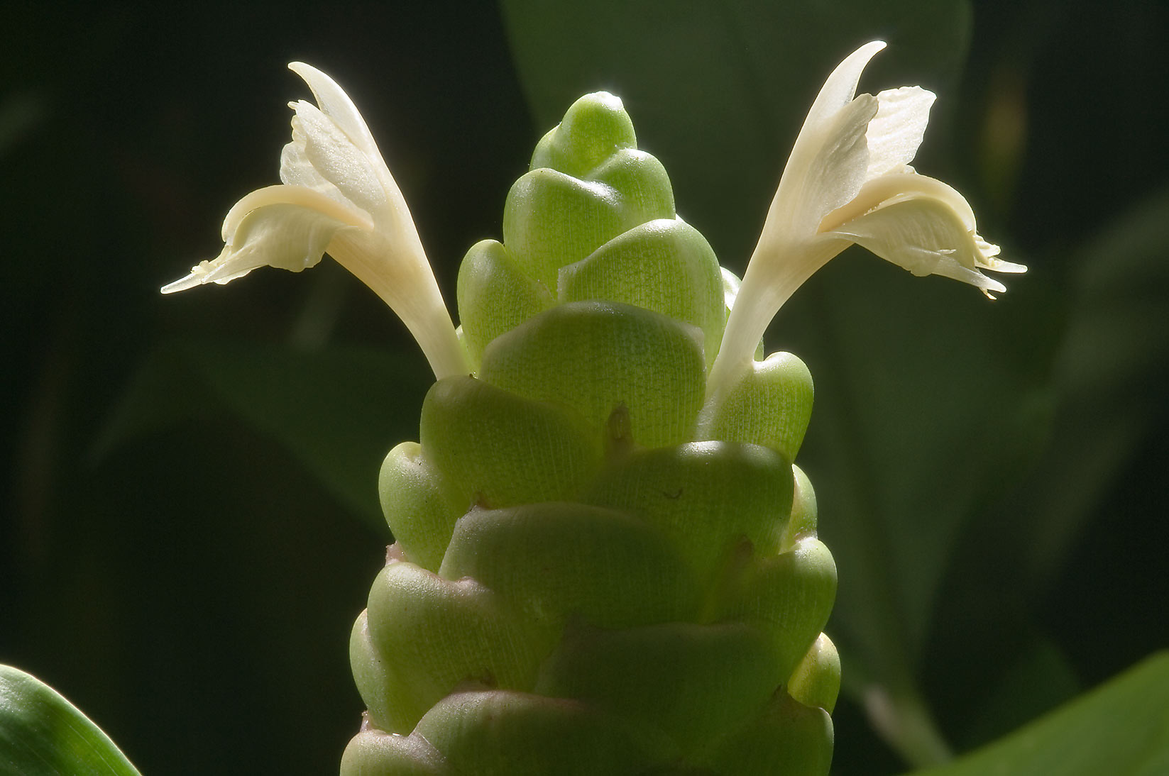 Pinecone ginger (Zingiber zerumbet) with flowers...Gardens. Humble (Houston area), Texas