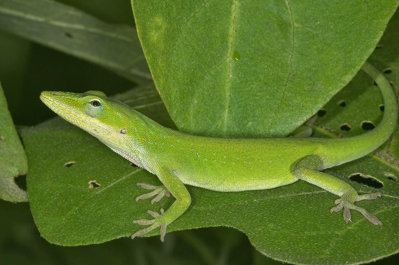 Green anole (Anolis carolinensis) on eggplant in...M University. College Station, Texas