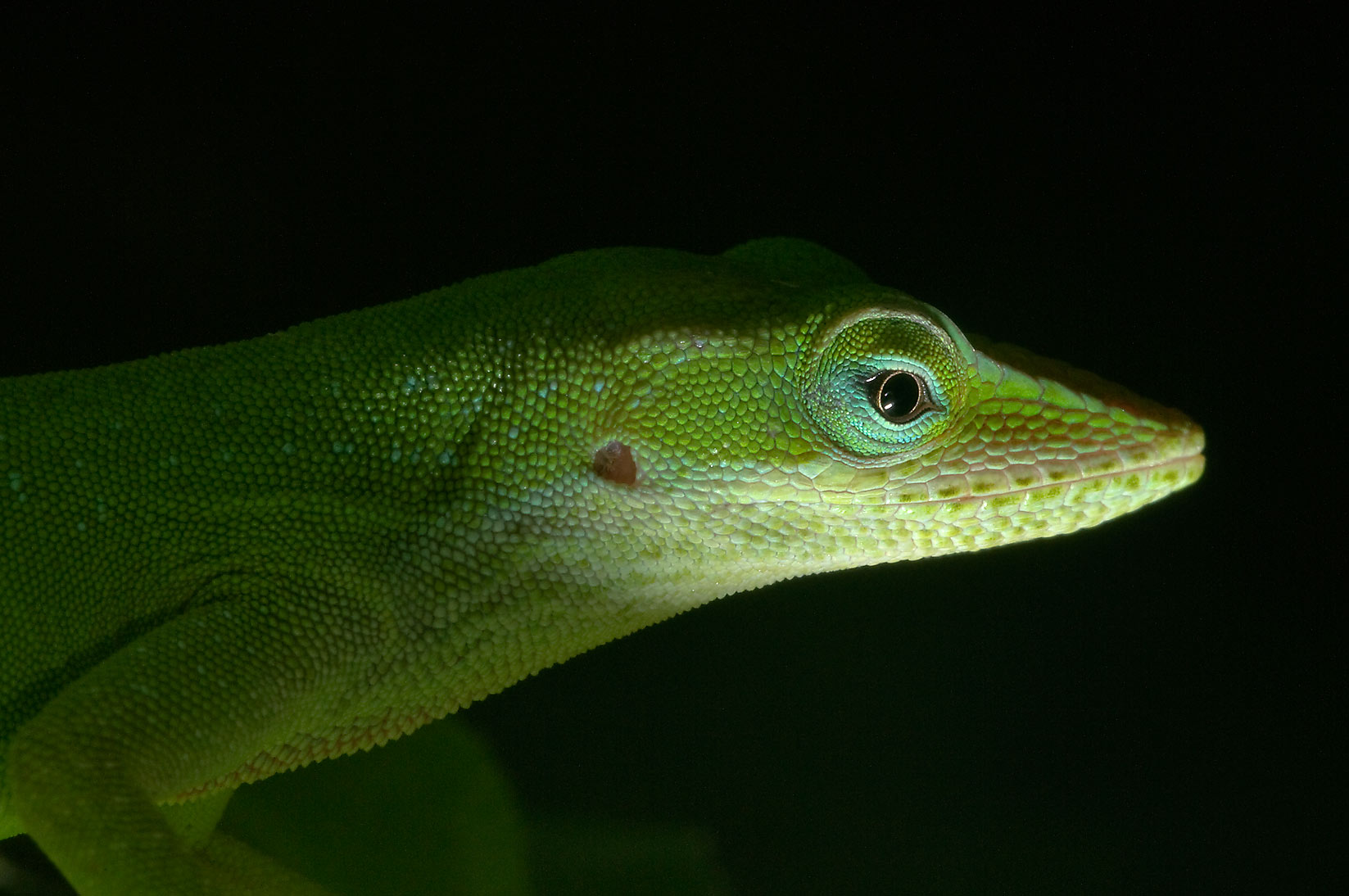 Peeking green anole (Anolis carolinensis) from...M University. College Station, Texas