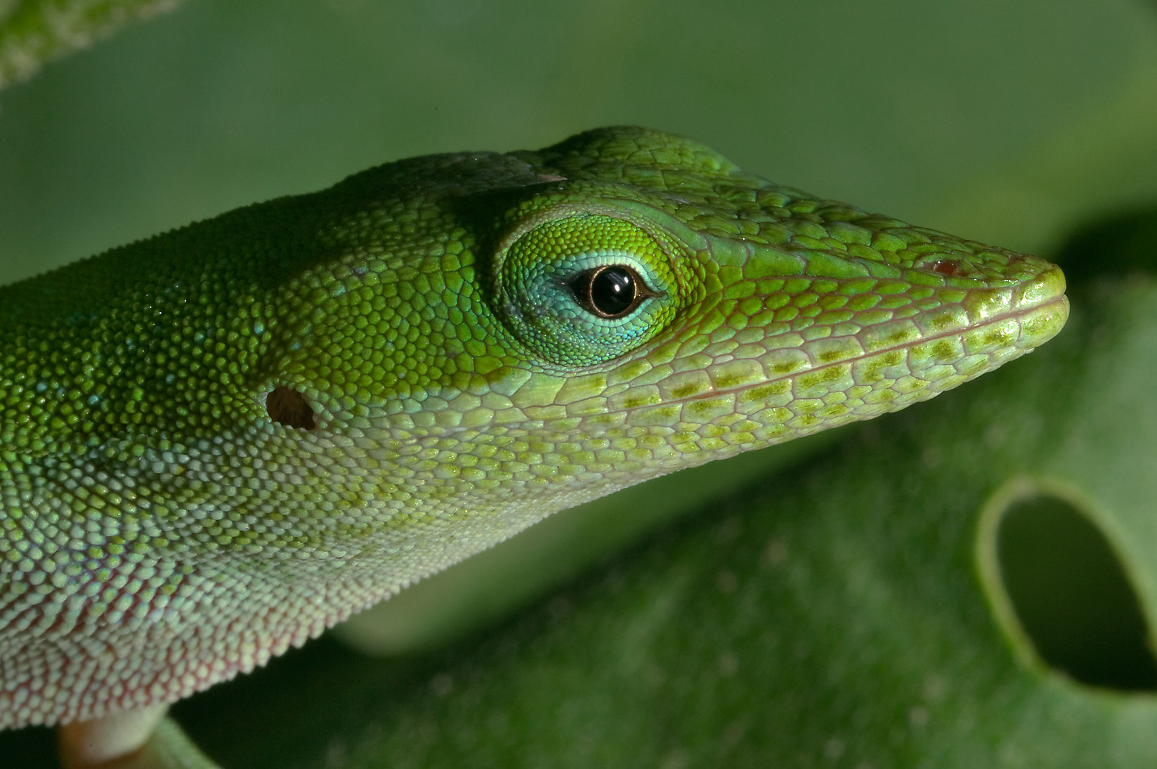Close up of green anole (Anolis carolinensis) on...M University. College Station, Texas