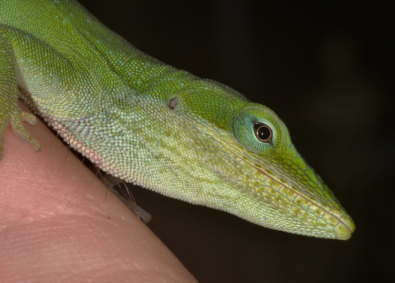 Tame green anole (Anolis carolinensis) on hand in...M University. College Station, Texas