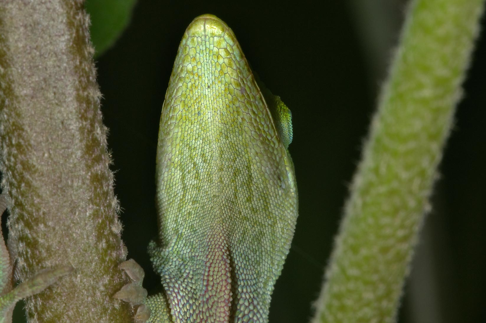 Head of green anole (Anolis carolinensis...M University. College Station, Texas