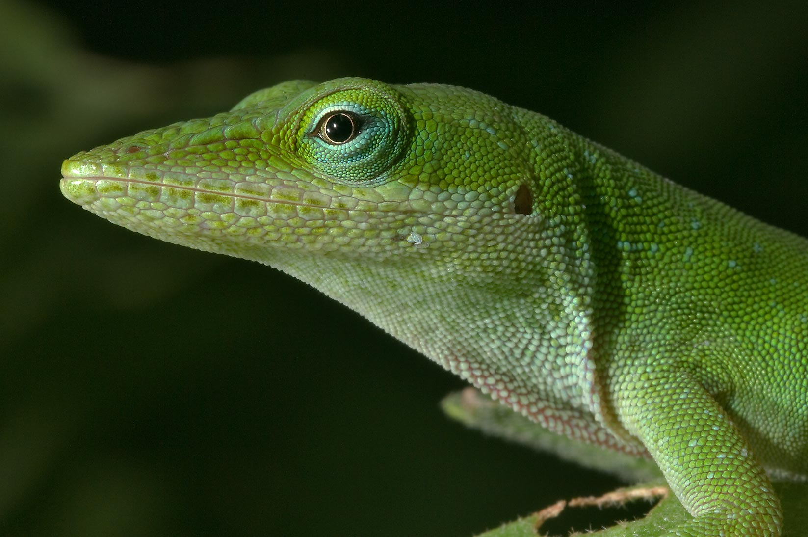 Peeking head of green anole (Anolis carolinensis...M University. College Station, Texas