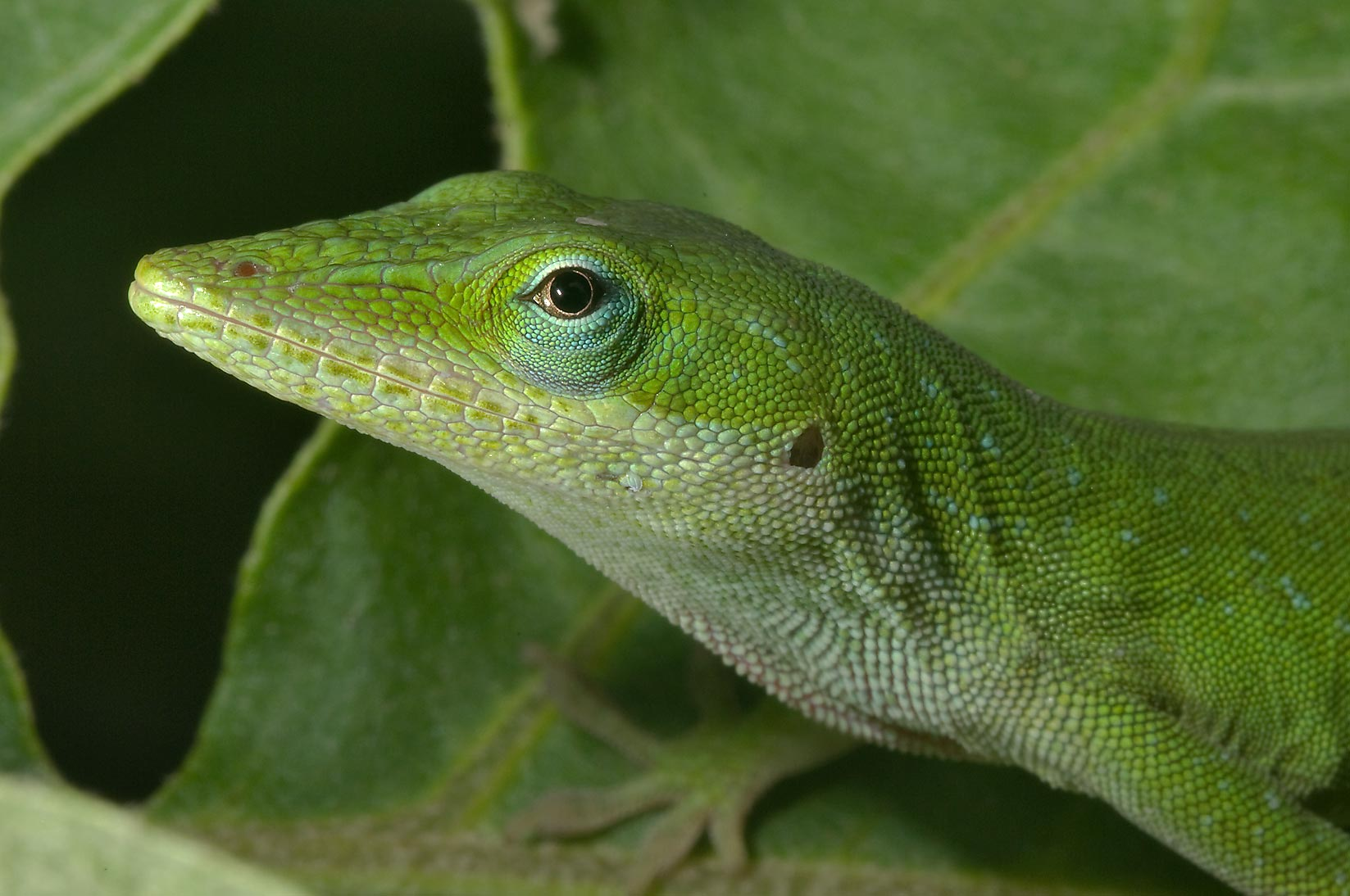Green anole (Anolis carolinensis) sitting on a...M University. College Station, Texas