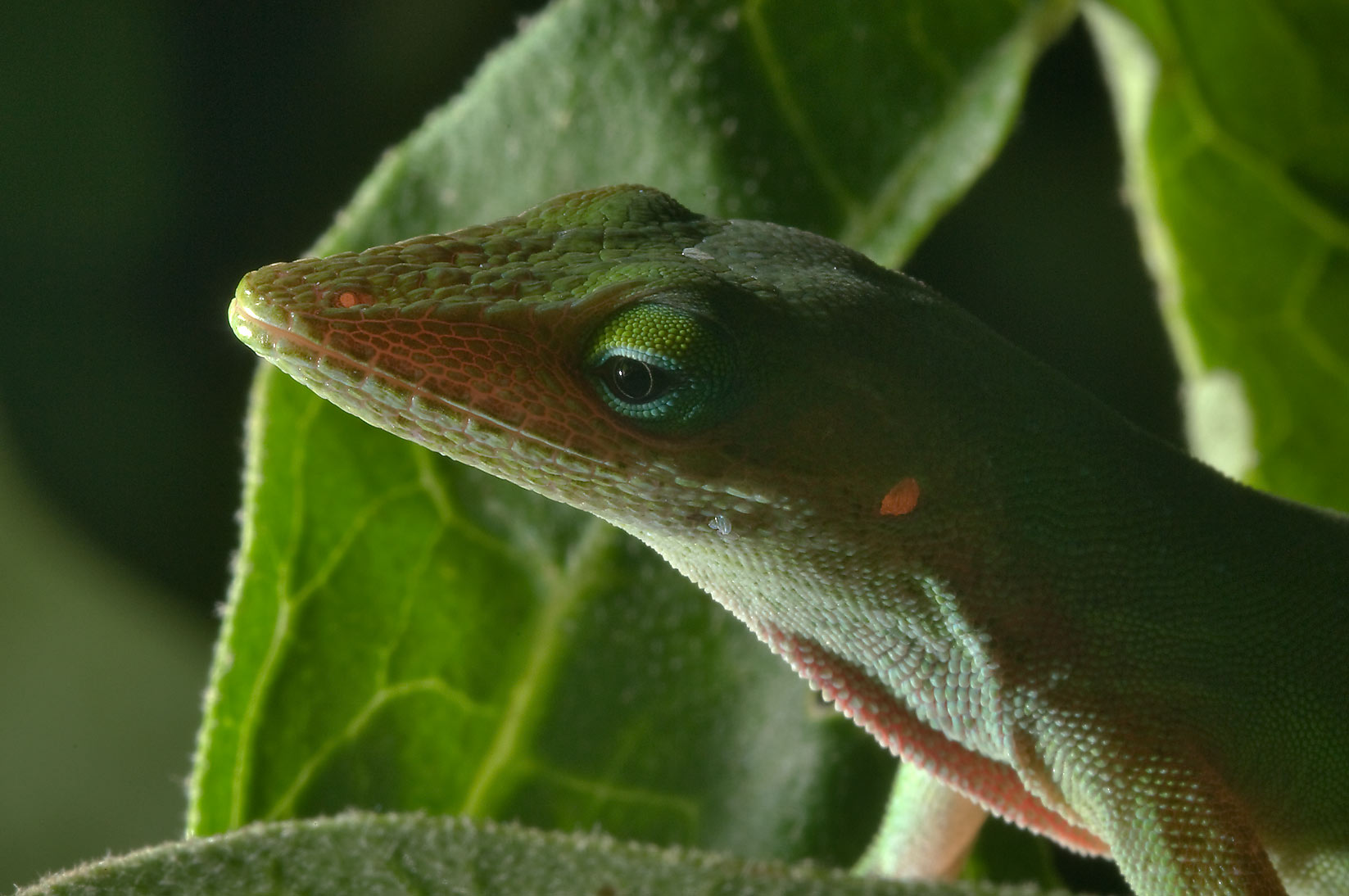 Back lit green anole (Anolis carolinensis...M University. College Station, Texas