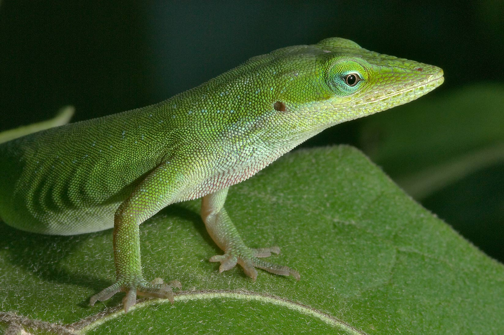 Green anole (Anolis carolinensis) on a lookout...M University. College Station, Texas