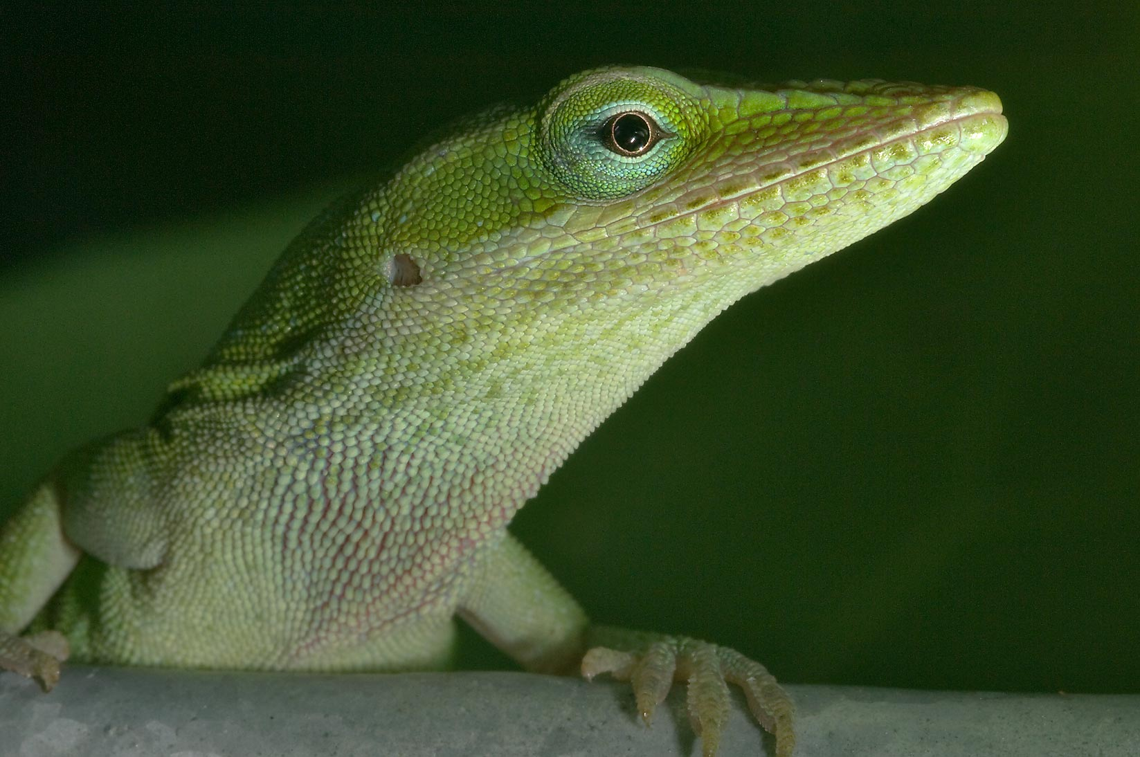 Green anole (Anolis carolinensis) on a supporting...M University. College Station, Texas