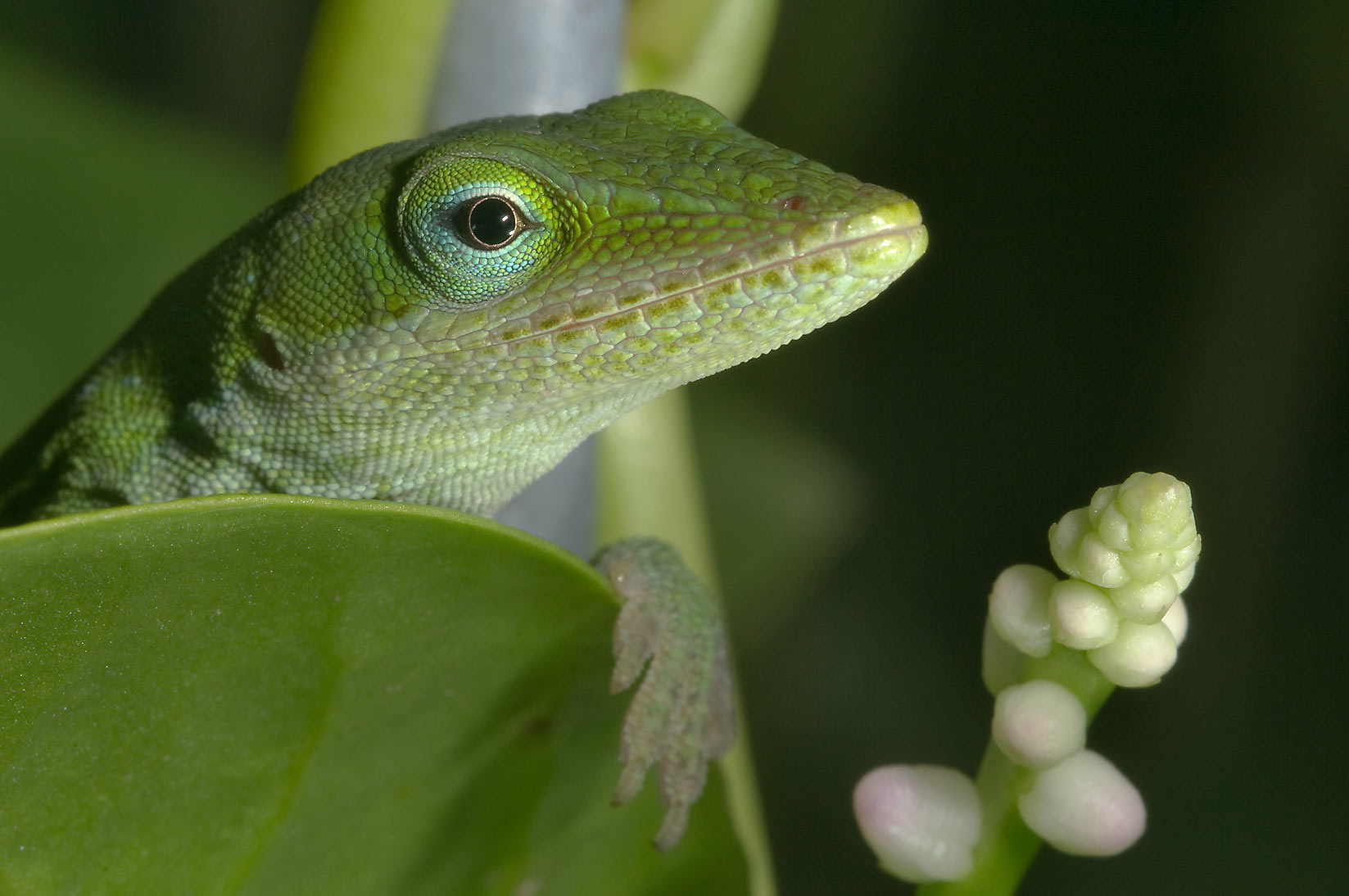 Green anole (Anolis carolinensis) with Malabar...M University. College Station, Texas