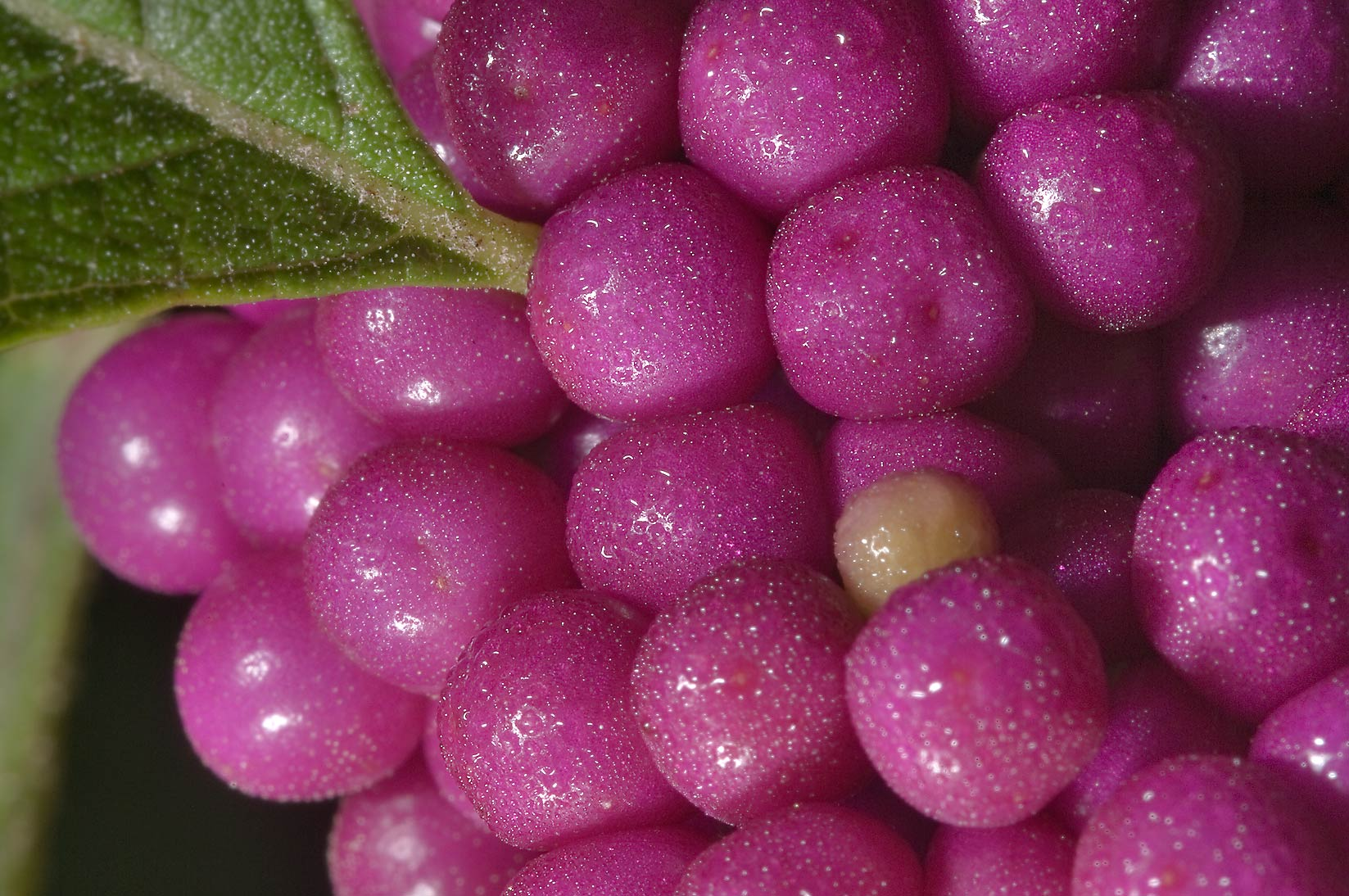 Fruits of beautyberry (Callicarpa americana) in...Creek Park. College Station, Texas
