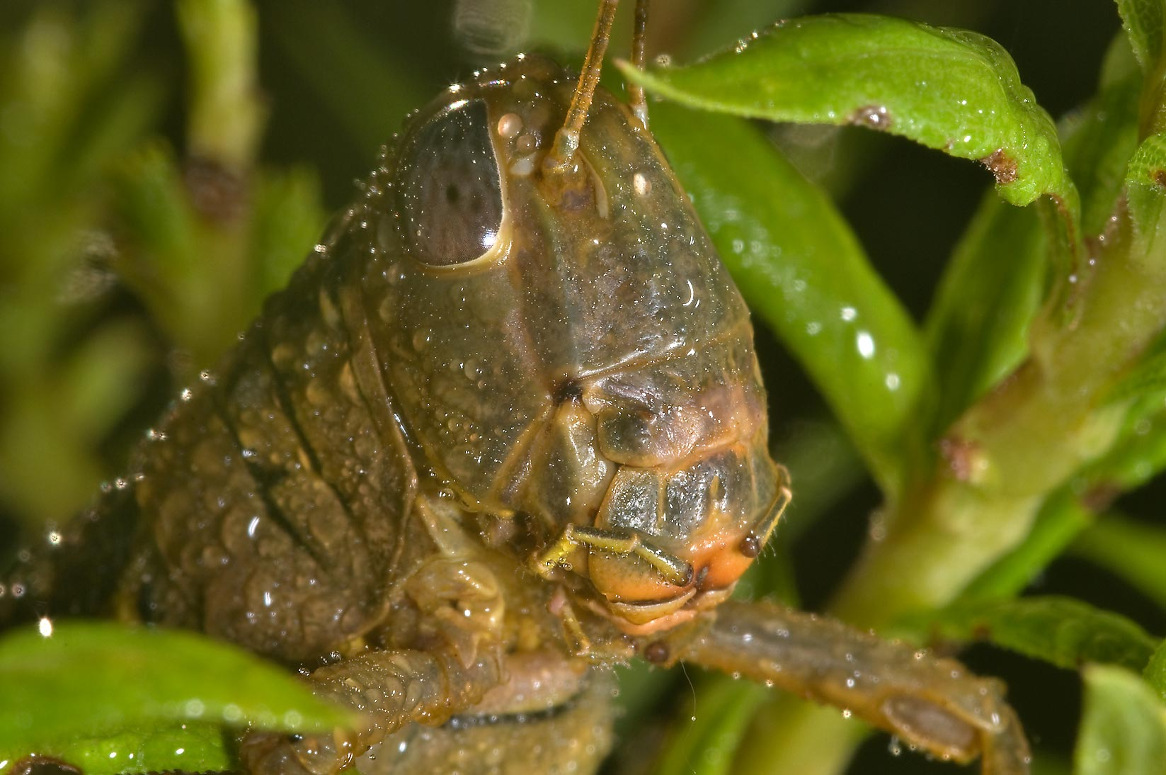 Head of a grasshopper in dew in Washington-on-the...State Historic Site. Washington, Texas