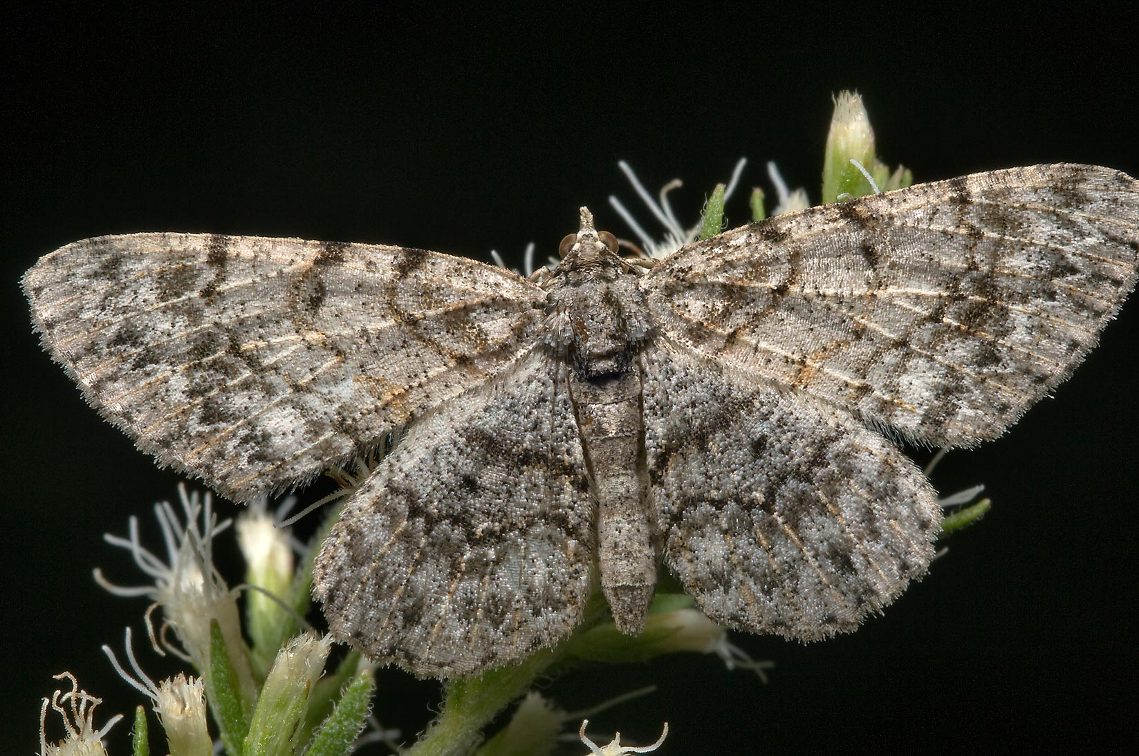 Geometrid moth on yankeeweed in Lick Creek Park. College Station, Texas