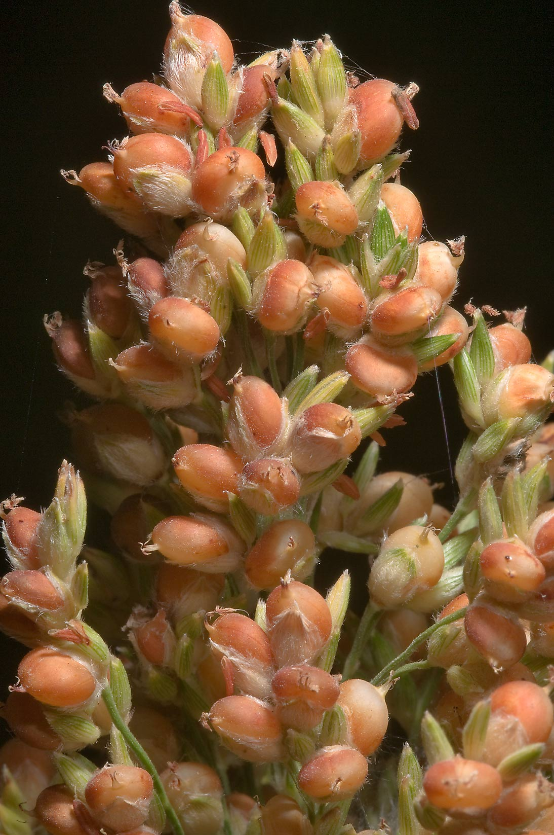 Sorghum-like plant in TAMU Horticultural Gardens...M University. College Station, Texas