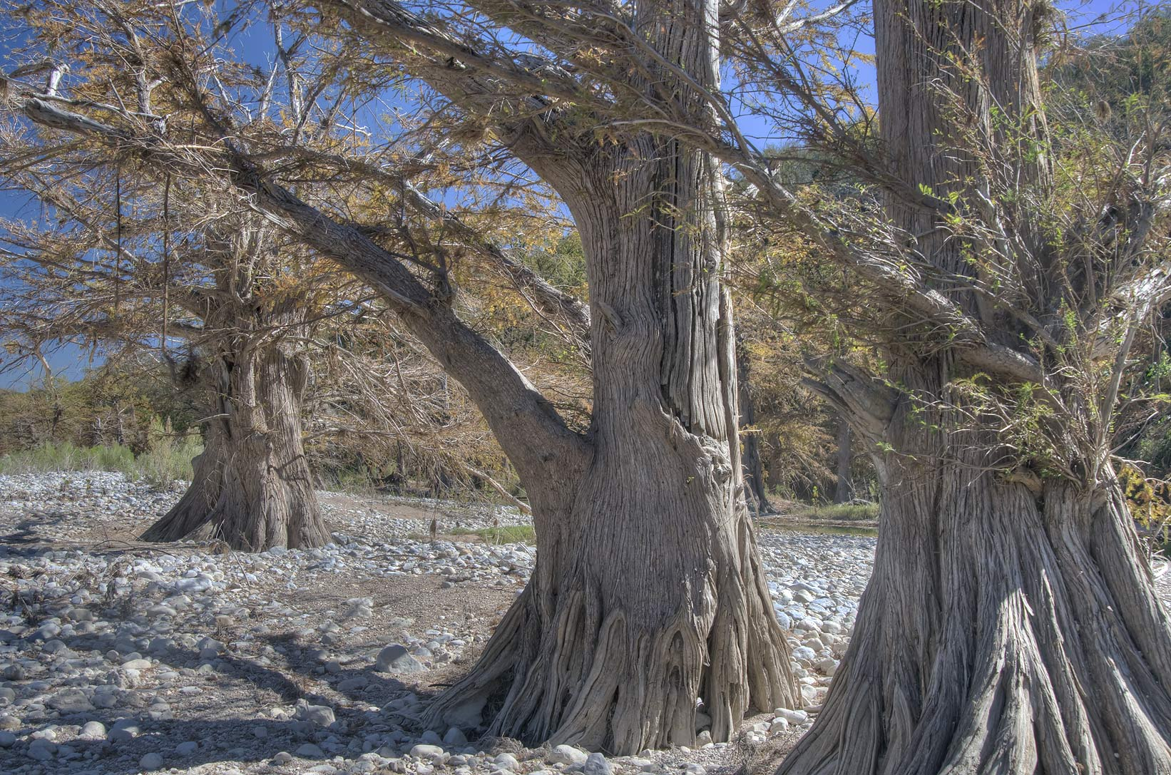 Cypresses in north-east area of Pedernales Falls State Park. Johnson City, Texas