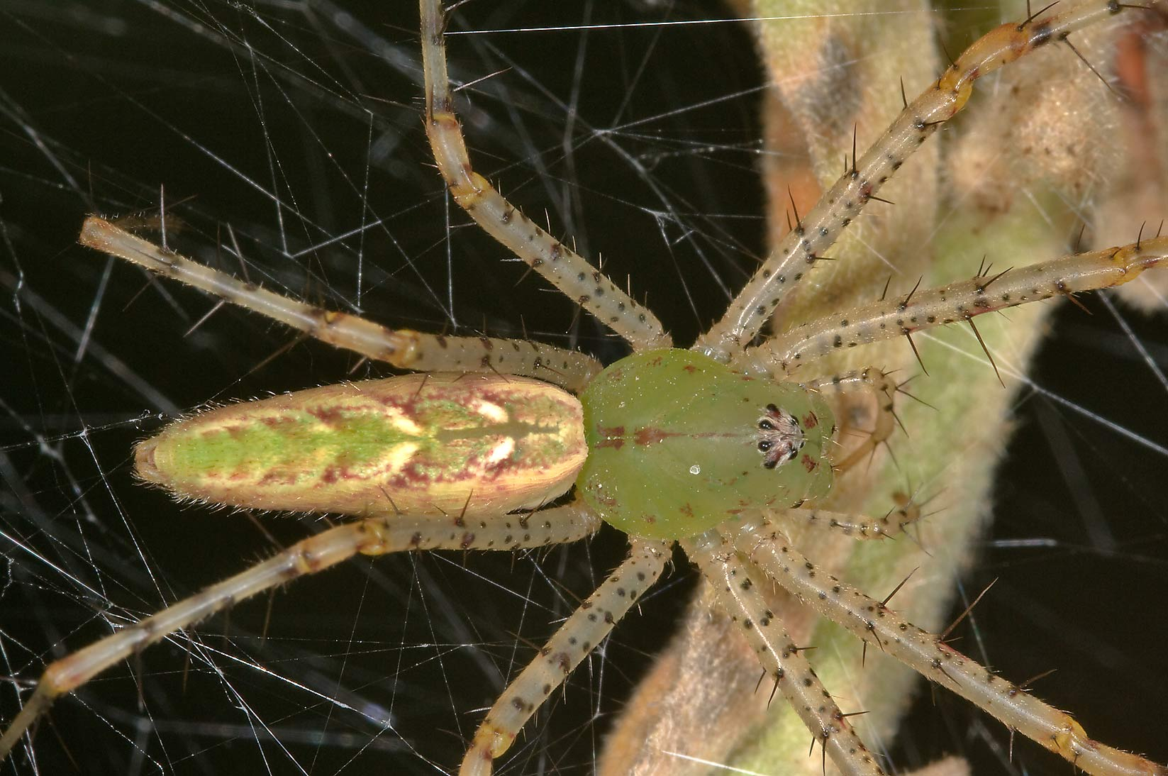 Green lynx spider near his nest in Lick Creek Park. College Station, Texas