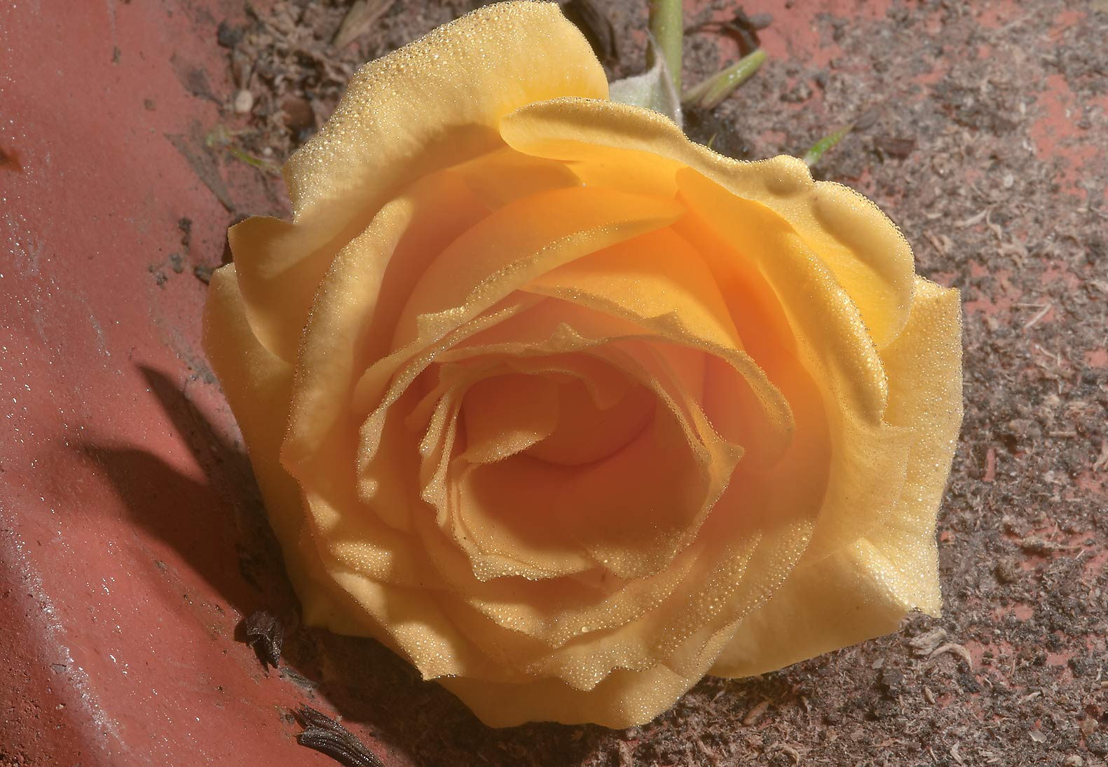 Yellow rose in TAMU Holistic Garden in Texas A&M University. College Station, Texas