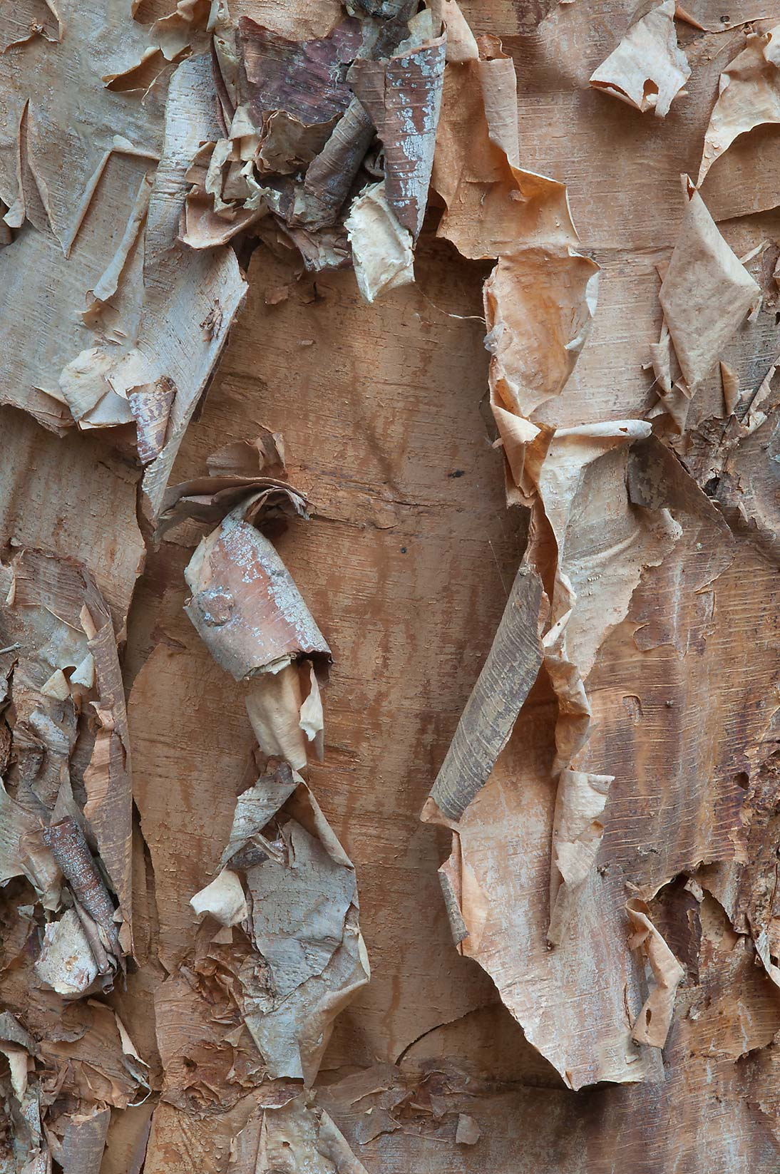 Exfoliating bark of river birch (Betula nigra) in Lick Creek Park. College Station, Texas