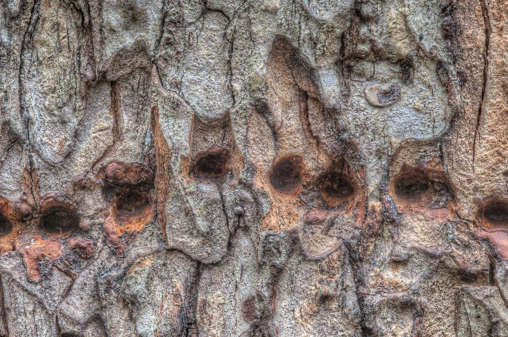 Line of holes bored by Yellow-Bellied Sapsucker...Creek Park. College Station, Texas