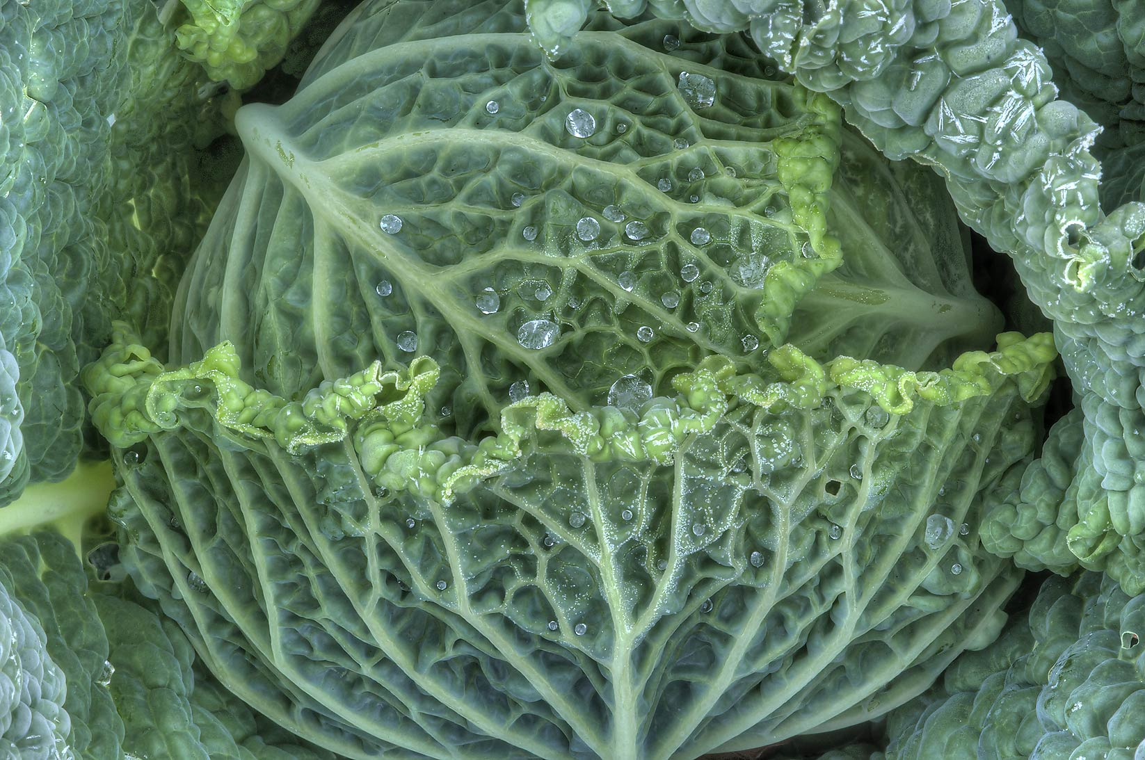 Head of cabbage with frozen water drops in TAMU...M University. College Station, Texas