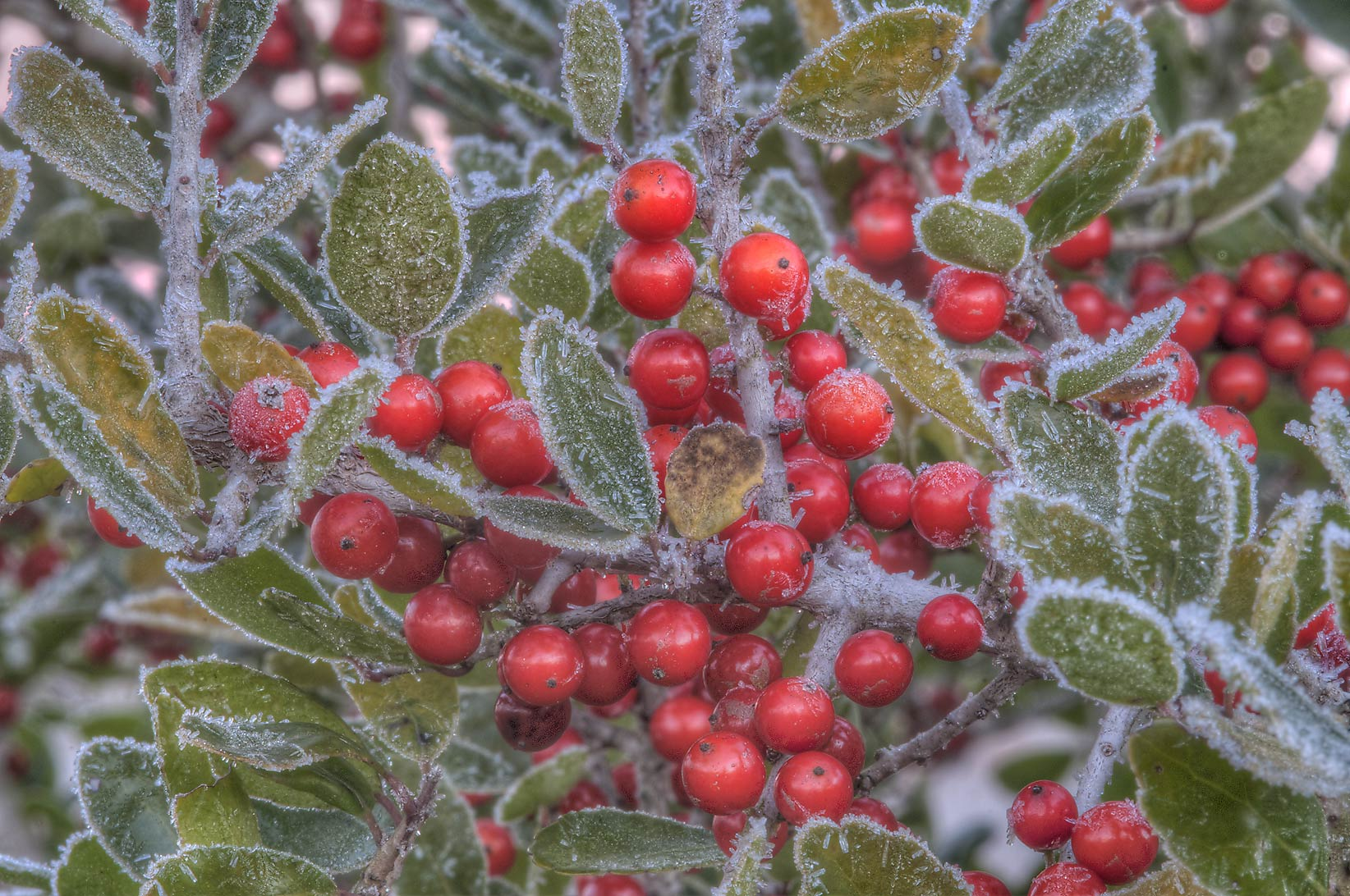 Red berries of yaupon holly (Ilex vomitoria) with...Creek Park. College Station, Texas