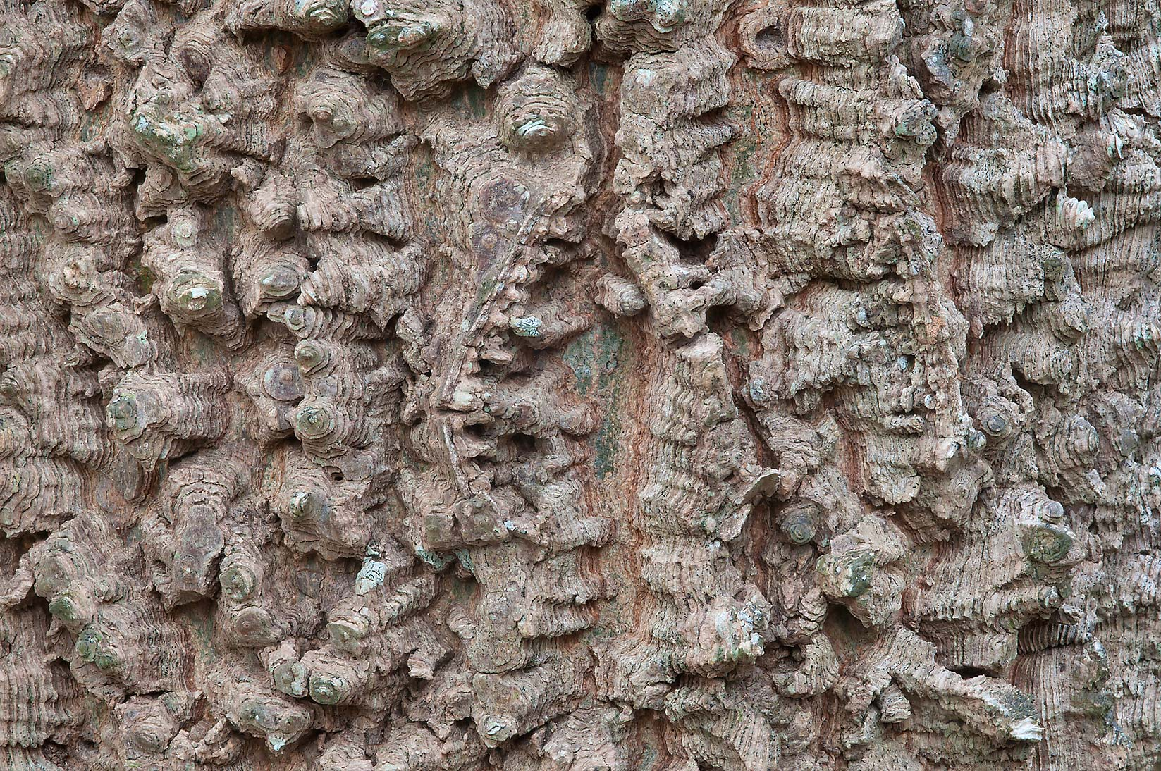 Corky bark of hackberry (Celtis occidentalis) in...State Historic Site. Washington, Texas