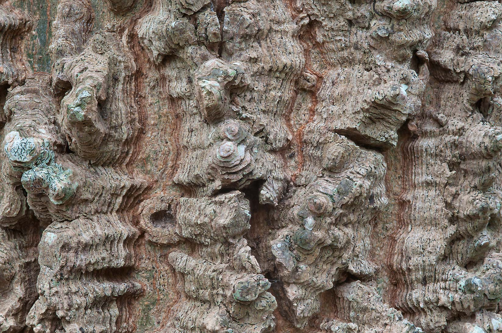 Corky ridges of bark of hackberry (Celtis...State Historic Site. Washington, Texas