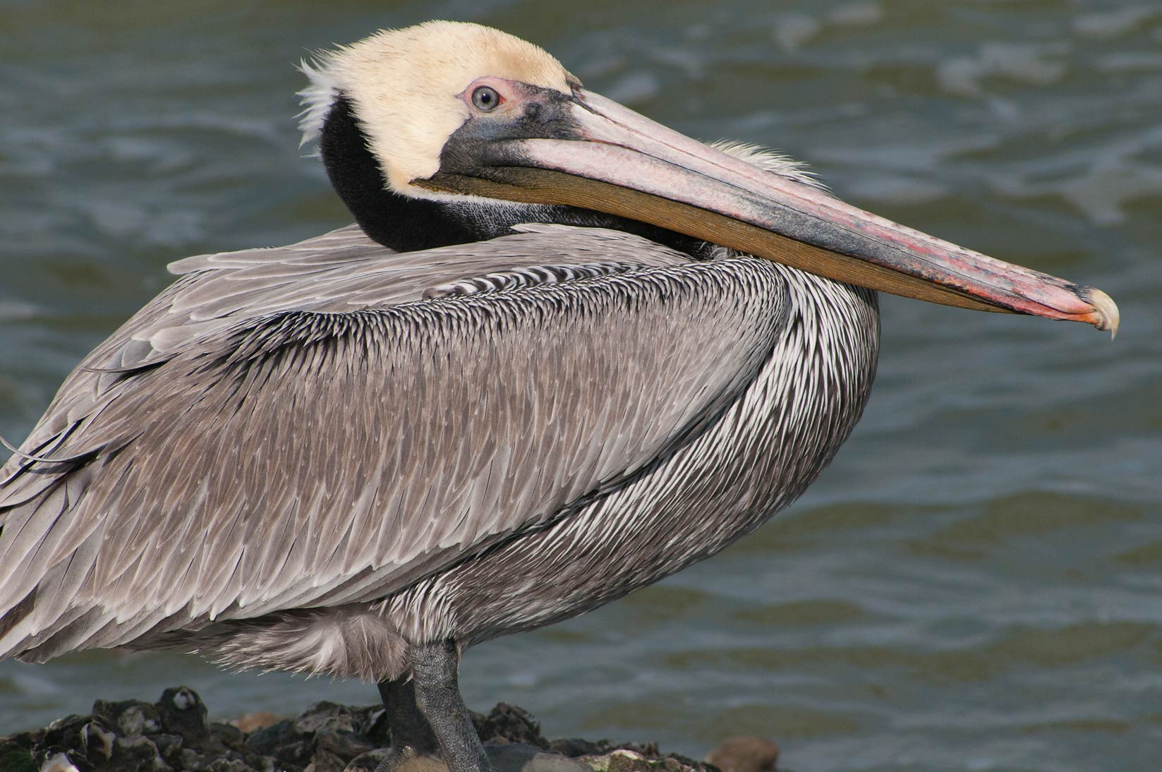 Brown pelican sitting on rocks below Pier 21. Galveston, Texas