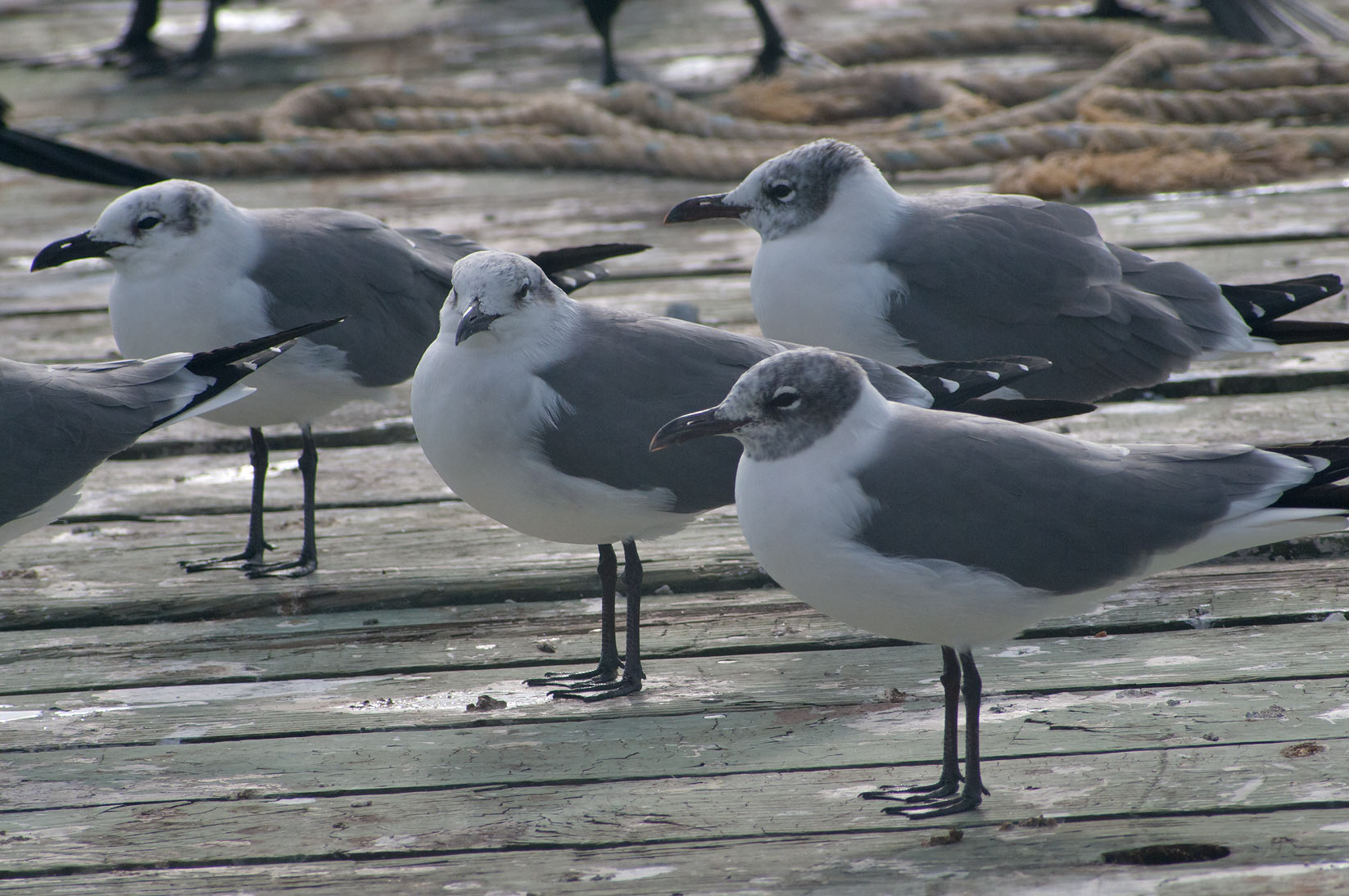 Galveston, Texas  - Gulls on Pier 21. Galveston, Texas
