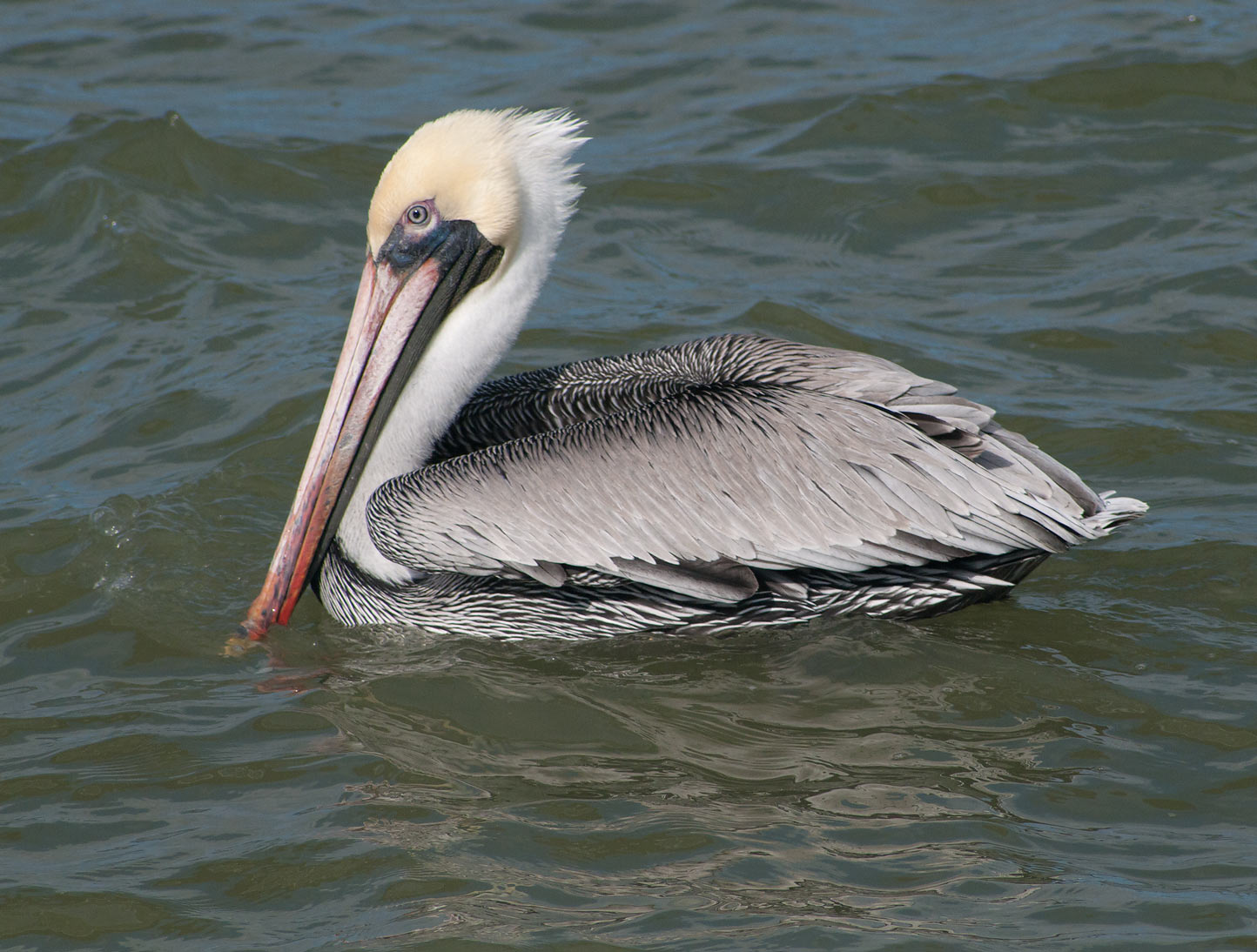 Brown pelican swimming near Pier 21. Galveston, Texas