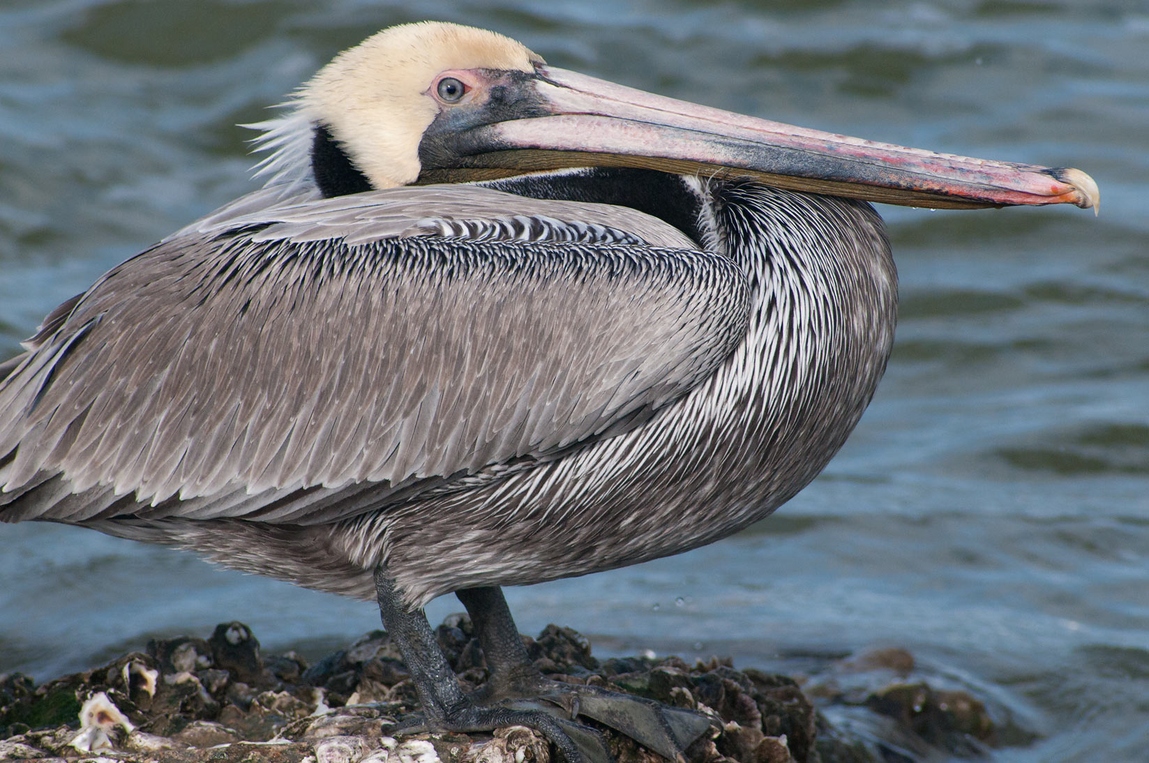 Brown pelican sitting on rocks at morning near Pier 21. Galveston, Texas