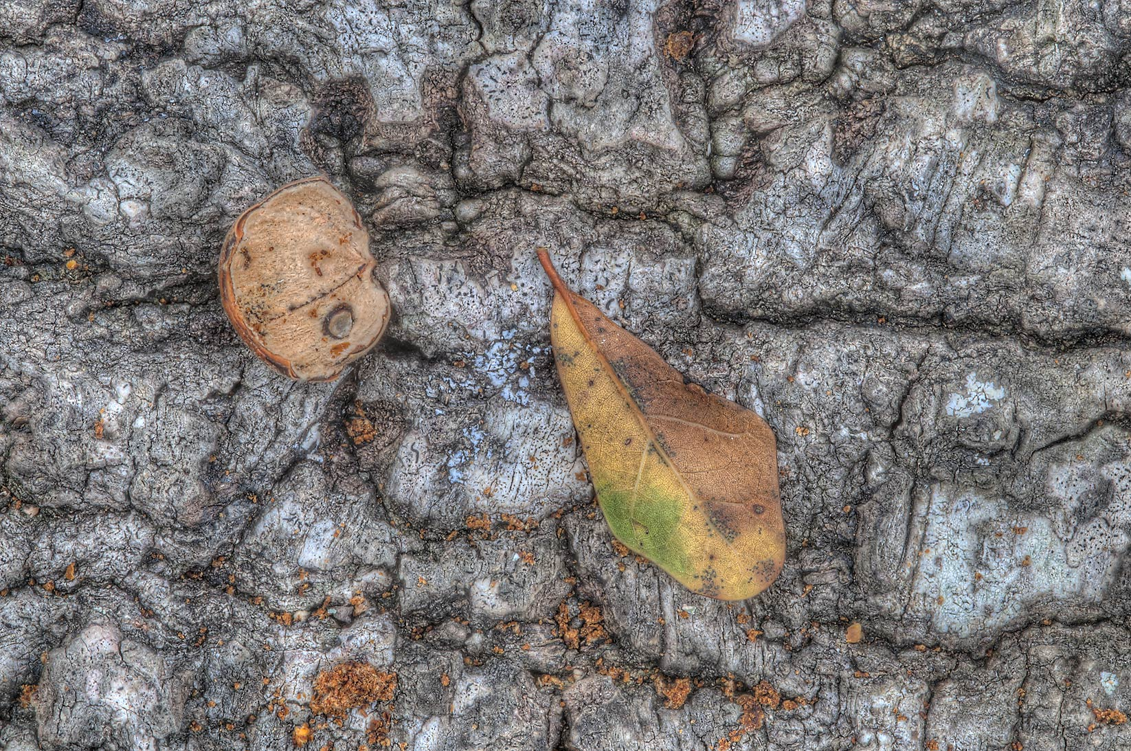 Eaten acorn on a log near Racoon Run Trail in Lick Creek Park. College Station, Texas