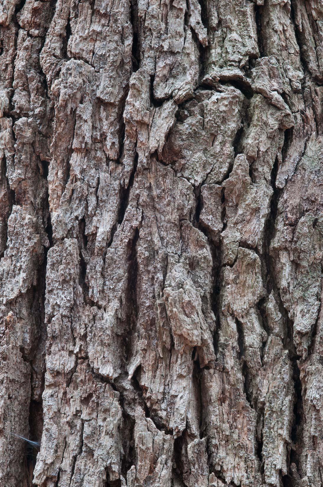 Photo 906-07: Oak tree...