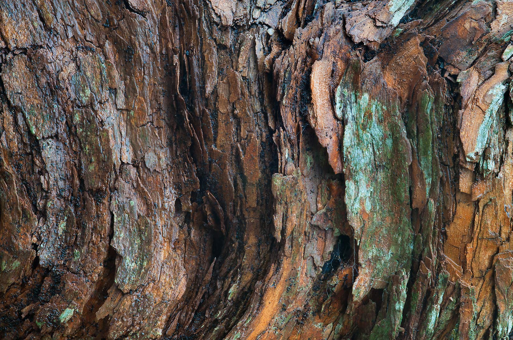 Bark of Horse apple (osage orange) in Washington...State Historic Site. Washington, Texas