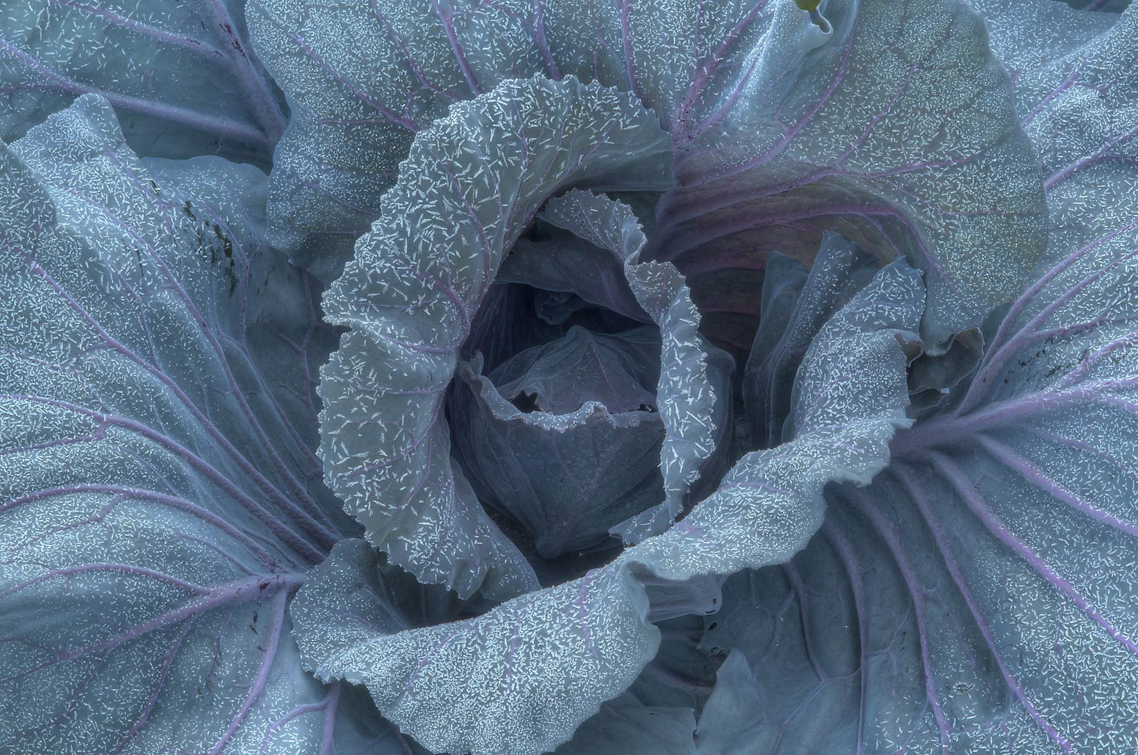Freeze on cabbage in TAMU Holistic Garden in...M University. College Station, Texas
