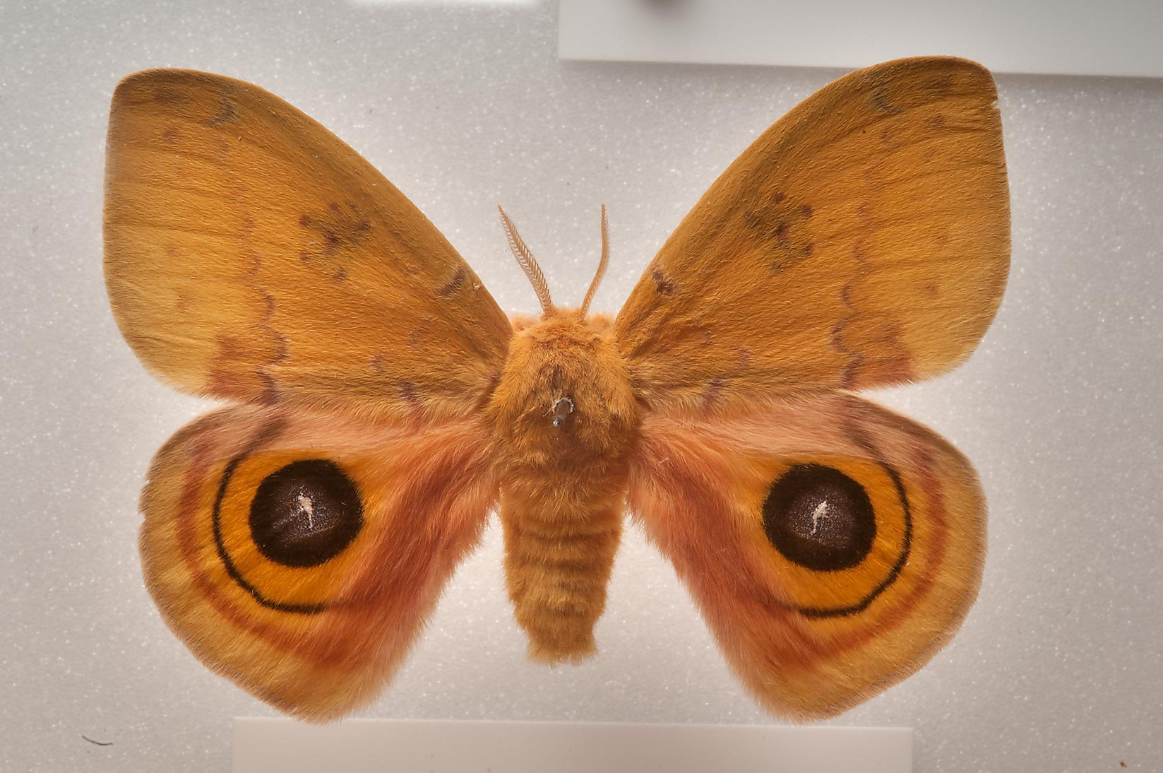 Orange moth on display in Houston Museum of Natural Science. Houston, Texas