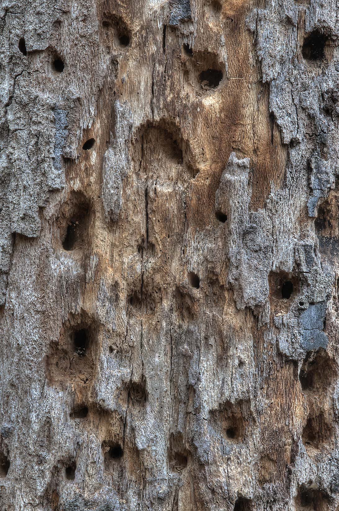 Woodpecker holes on a rotten tree in Lick Creek Park. College Station, Texas