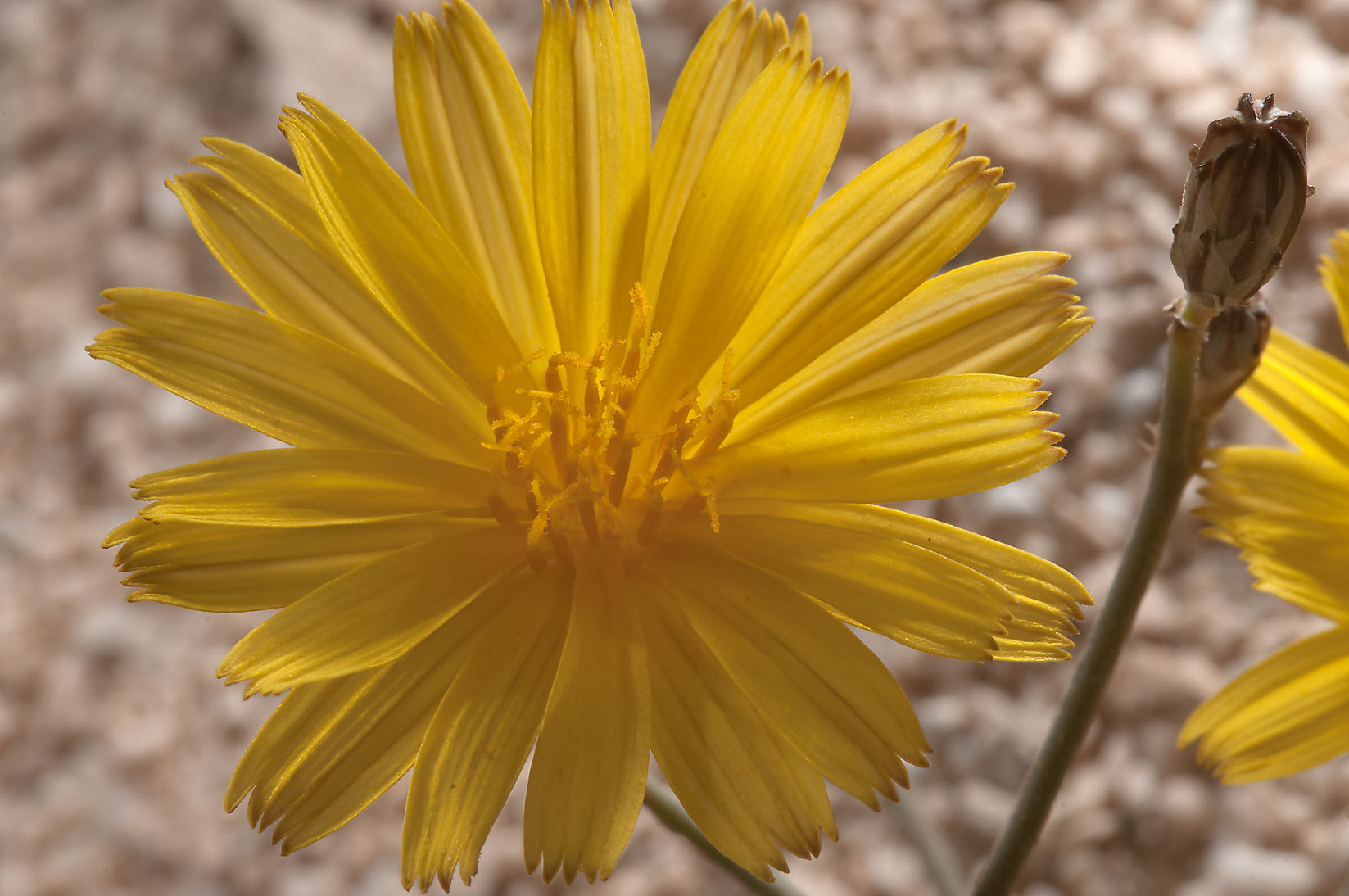 Dandelion like flower of Launaea mucronata on a...site, on north-eastern coast. Qatar