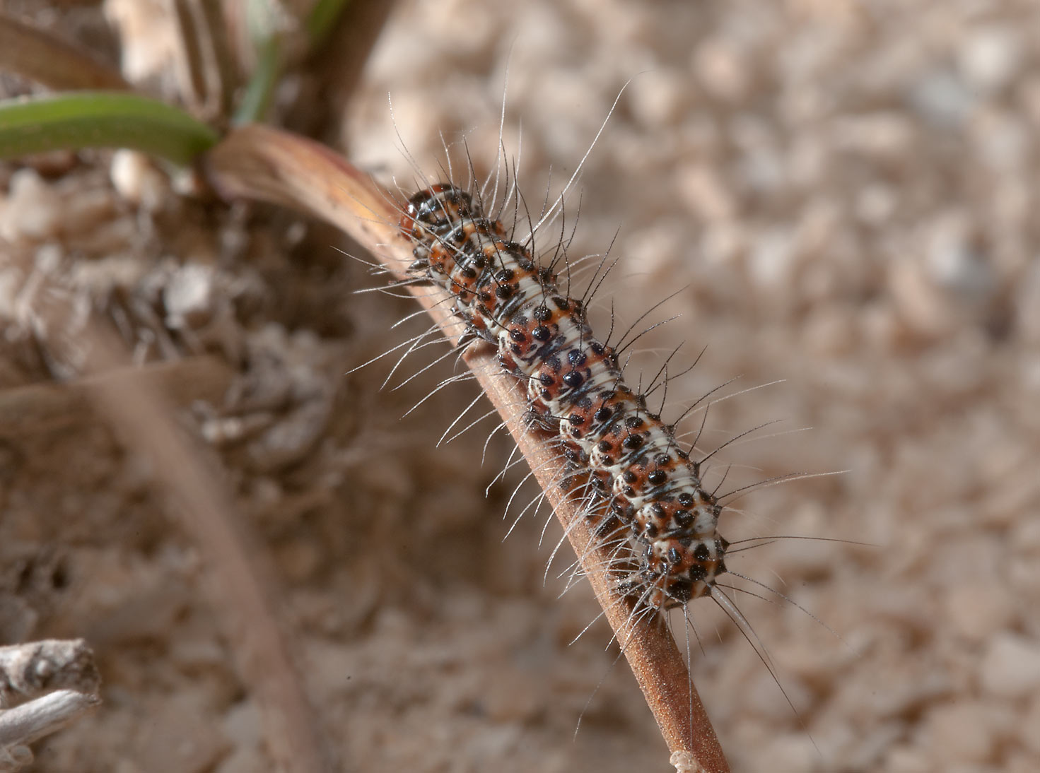 Caterpillar of salt-and-pepper moth (Utetheisa...site, on north-eastern coast. Qatar