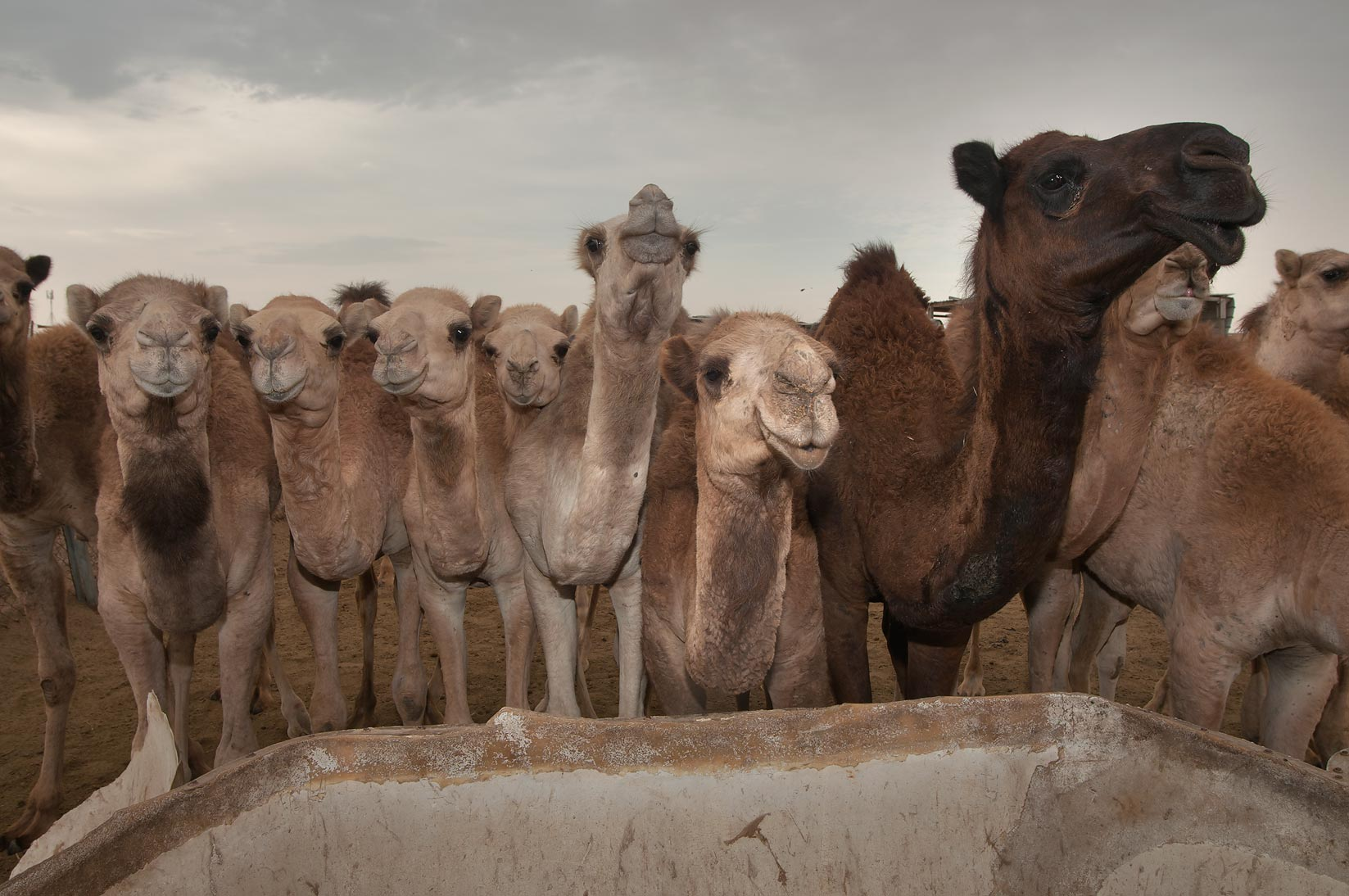 Animals (for food) in Camel Market. Doha, Qatar
