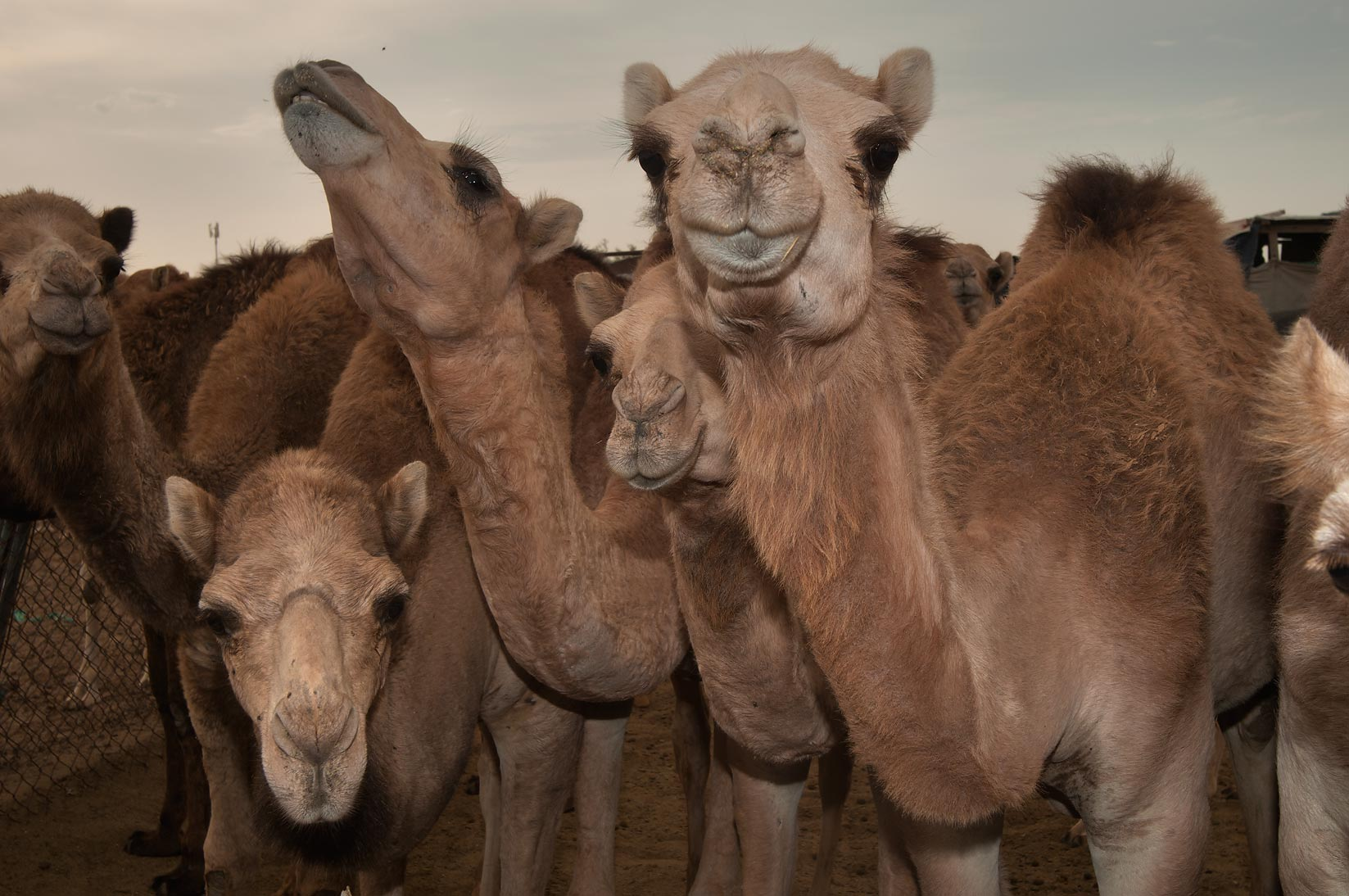 Several camels in animal market. Doha, Qatar