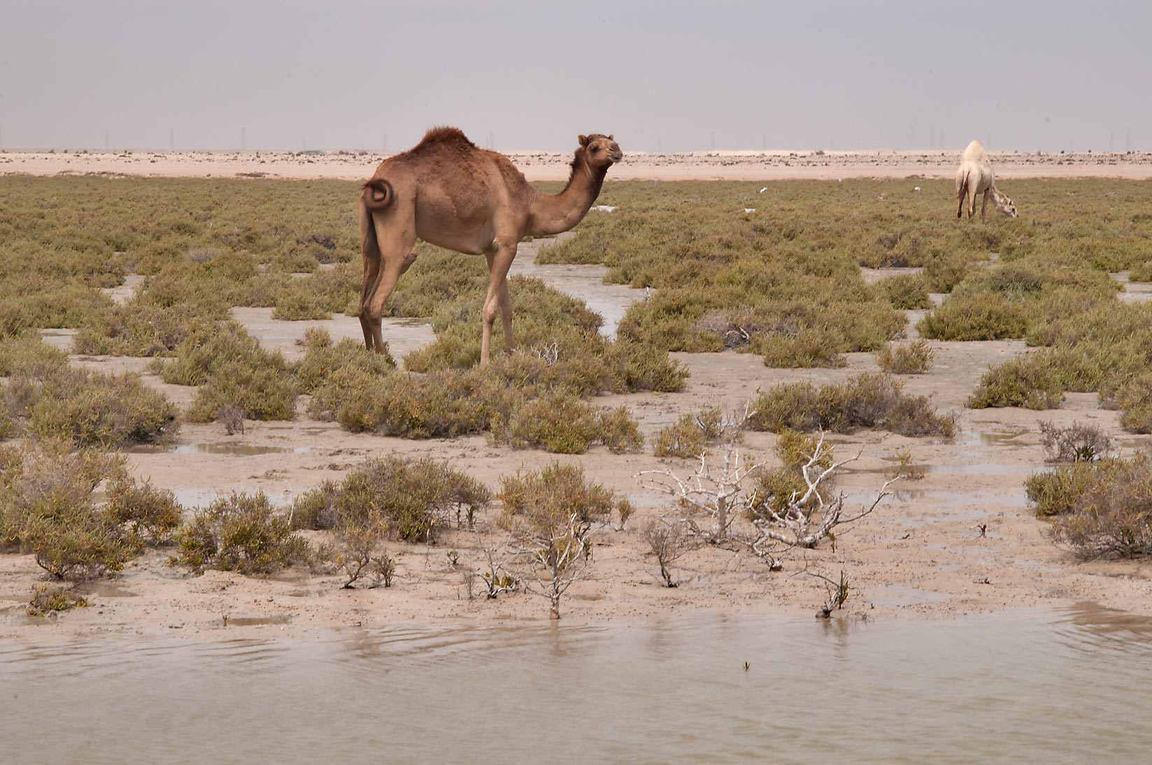 Grazing camels in a salt marsh near Mesaieed. Qatar