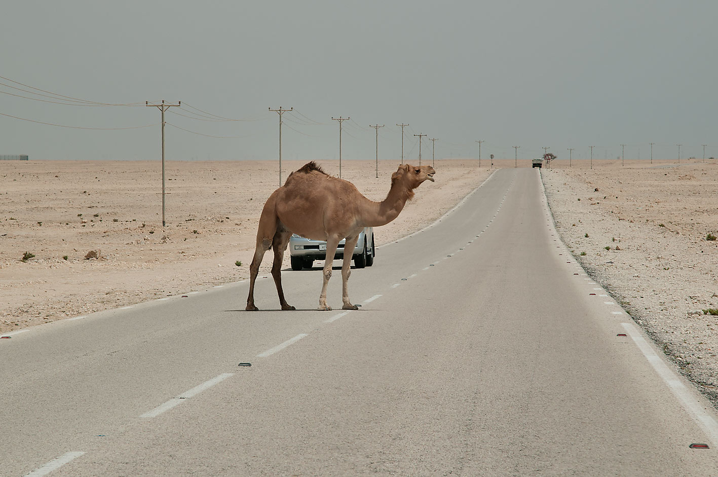 Camel crossing a road in desert south-west from Al Wakrah. Qatar