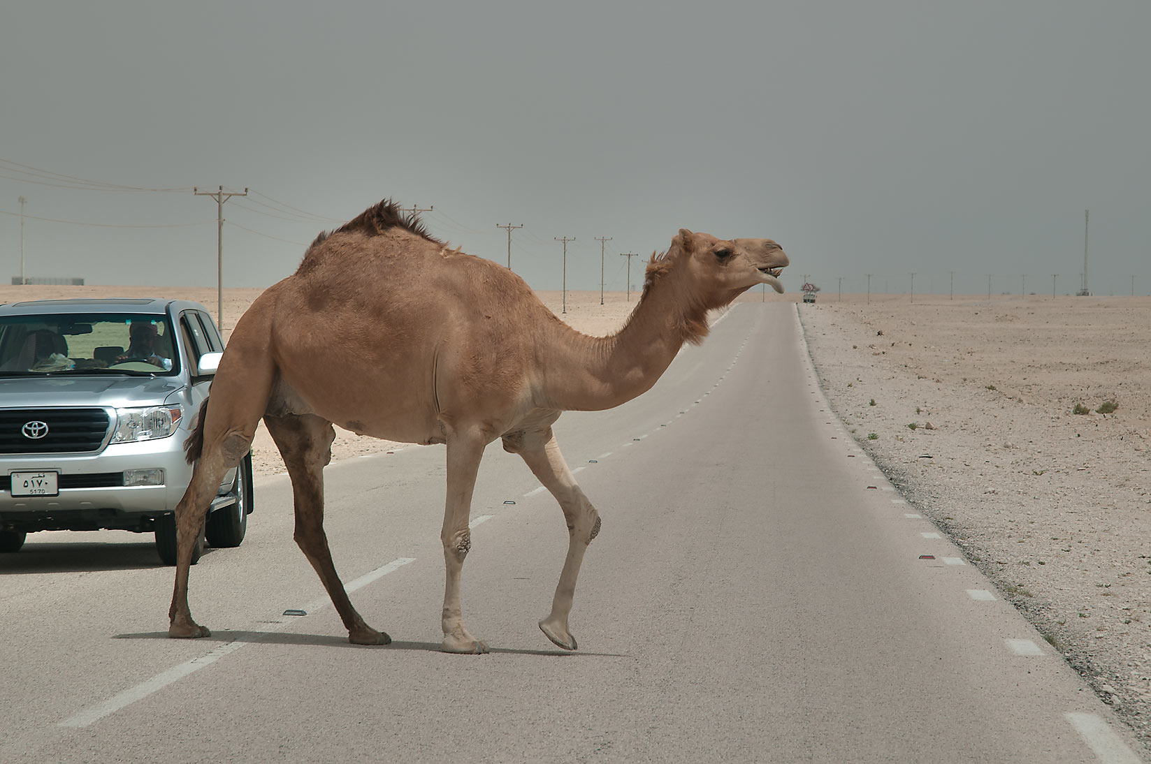 Camel walking across a road in desert south-west from Al Wakrah. Qatar
