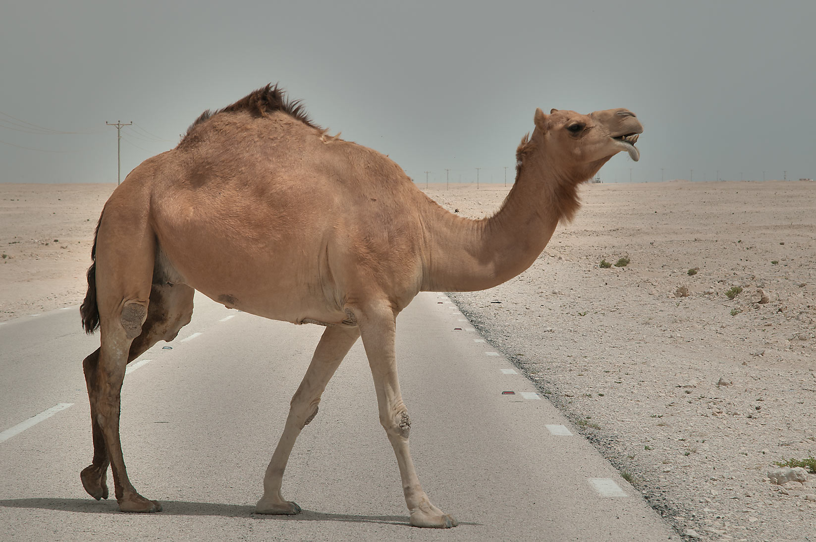 Camel on a road in desert south-west from Al Wakrah. Qatar