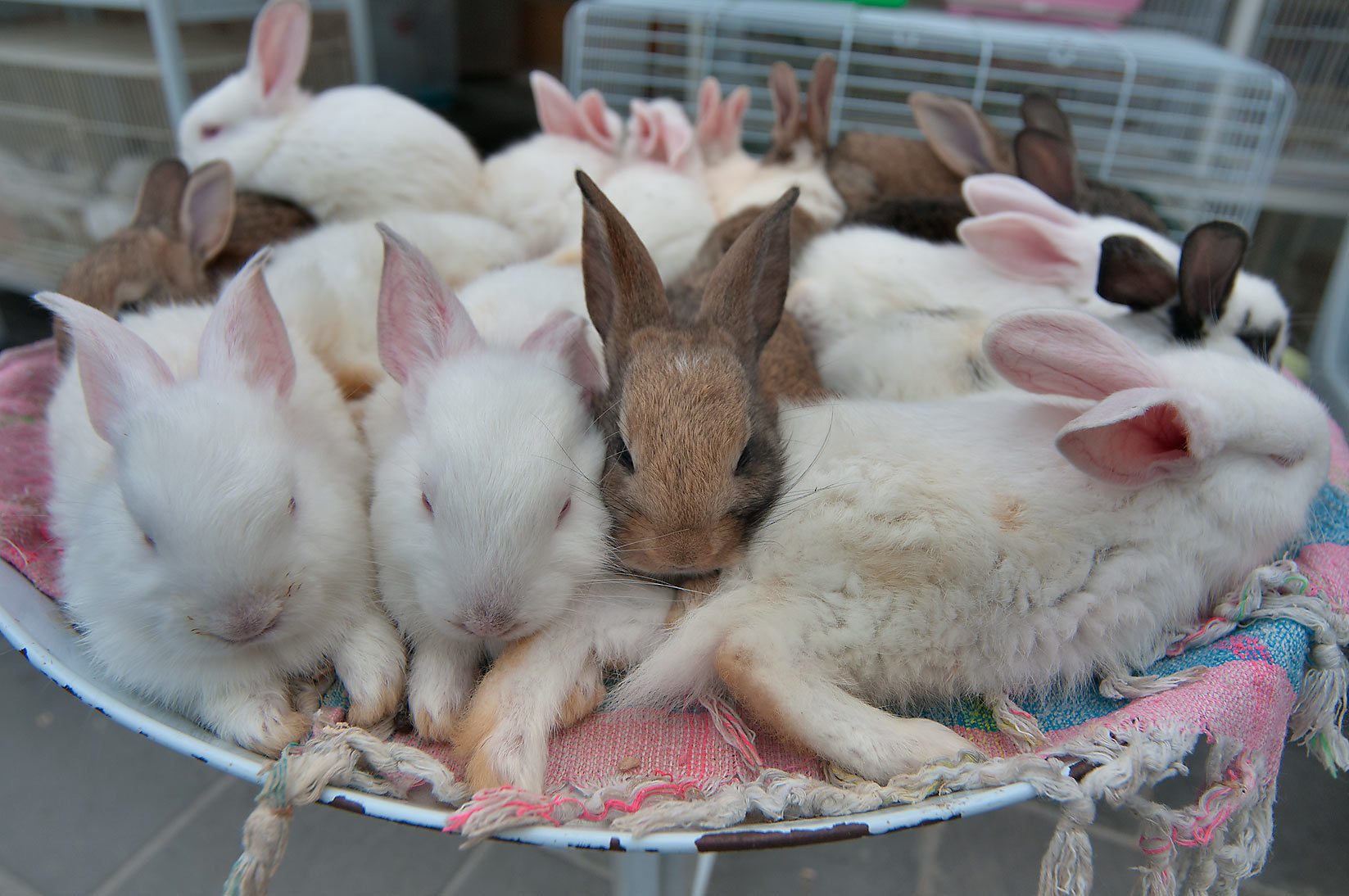 Rabbits in pet market in Souq Waqif. Doha, Qatar
