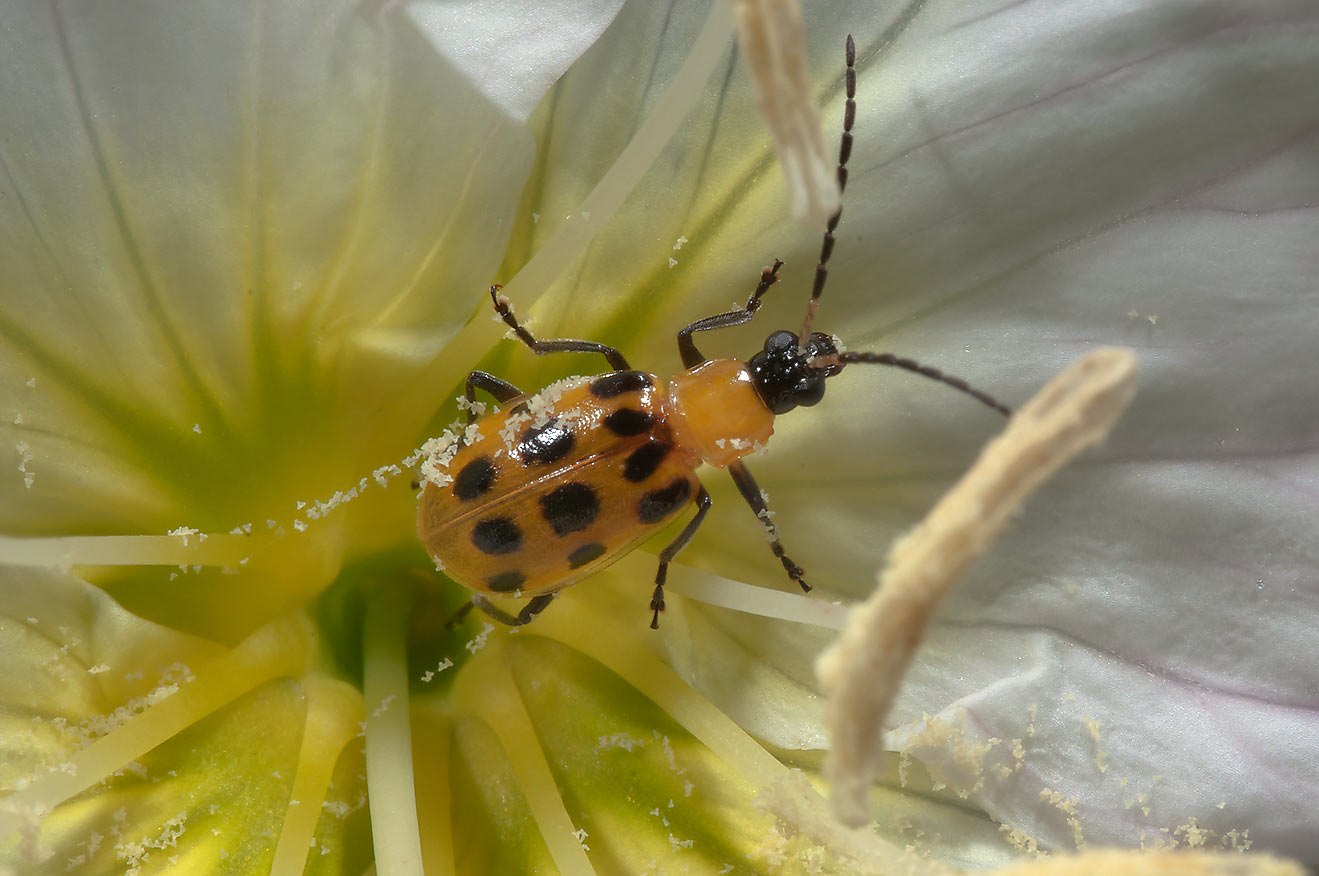 Corn beetle on showy evening primrose in TAMU...M University. College Station, Texas