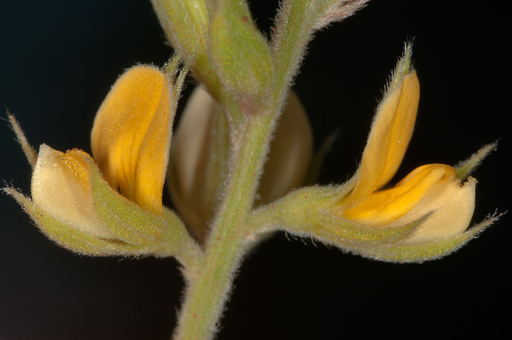 Yellow flowers of Hairypod Cowpea (Wild Cow Pea...Creek Park. College Station, Texas