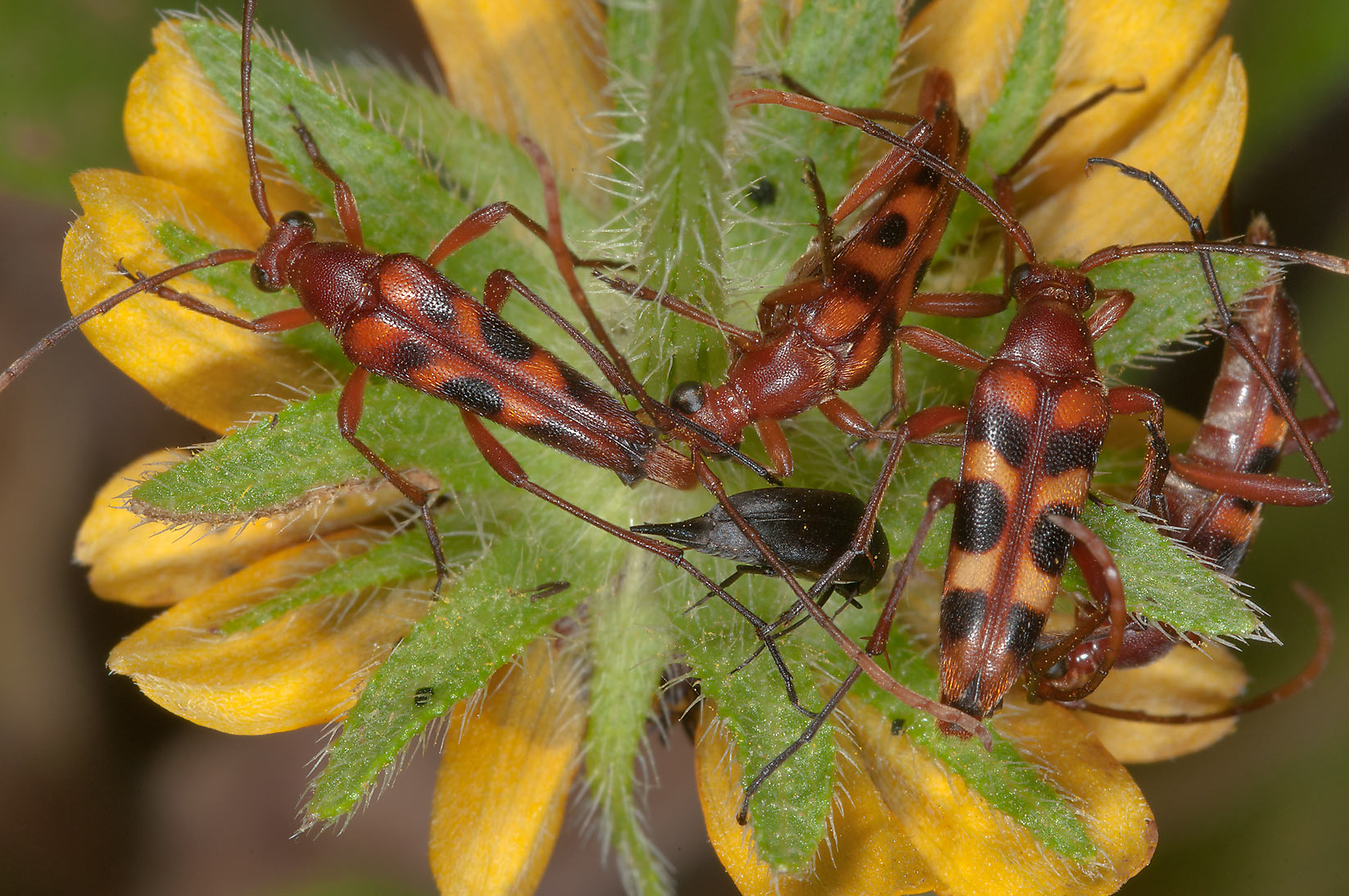 Horn beetles sleeping on coreopsis at morning in Lick Creek Park. College Station, Texas